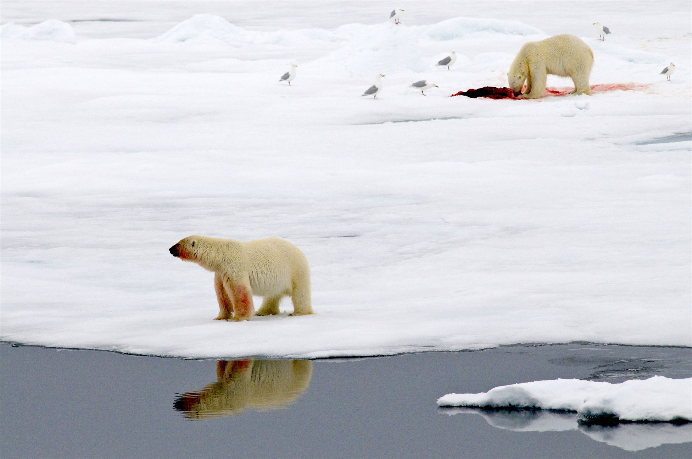 polar-bears-on-pack-ice-north-of-svalbard-with-seal-kill_f53c-2200x1461px