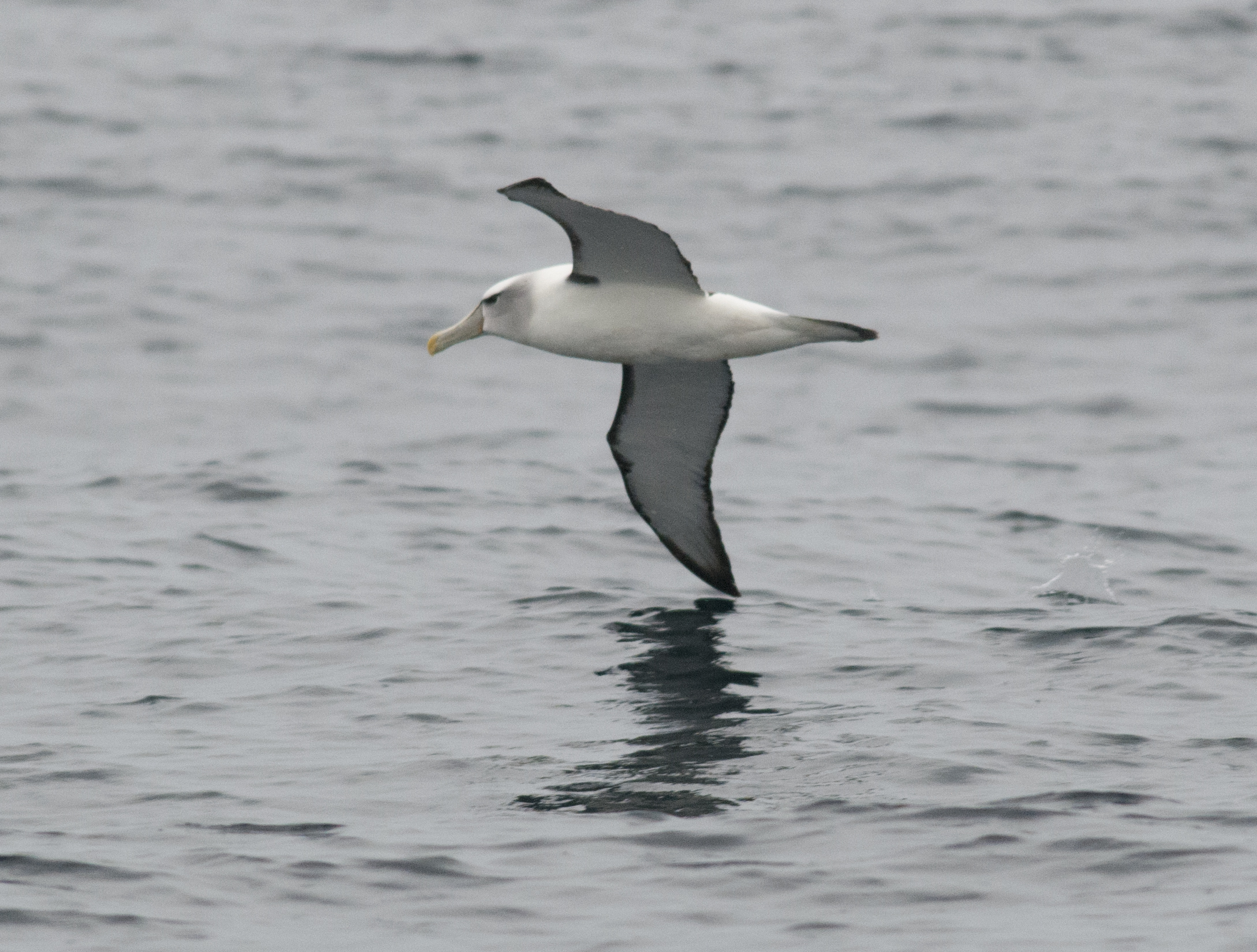 shy albatross thalassarche cauta tasman national park tasmania