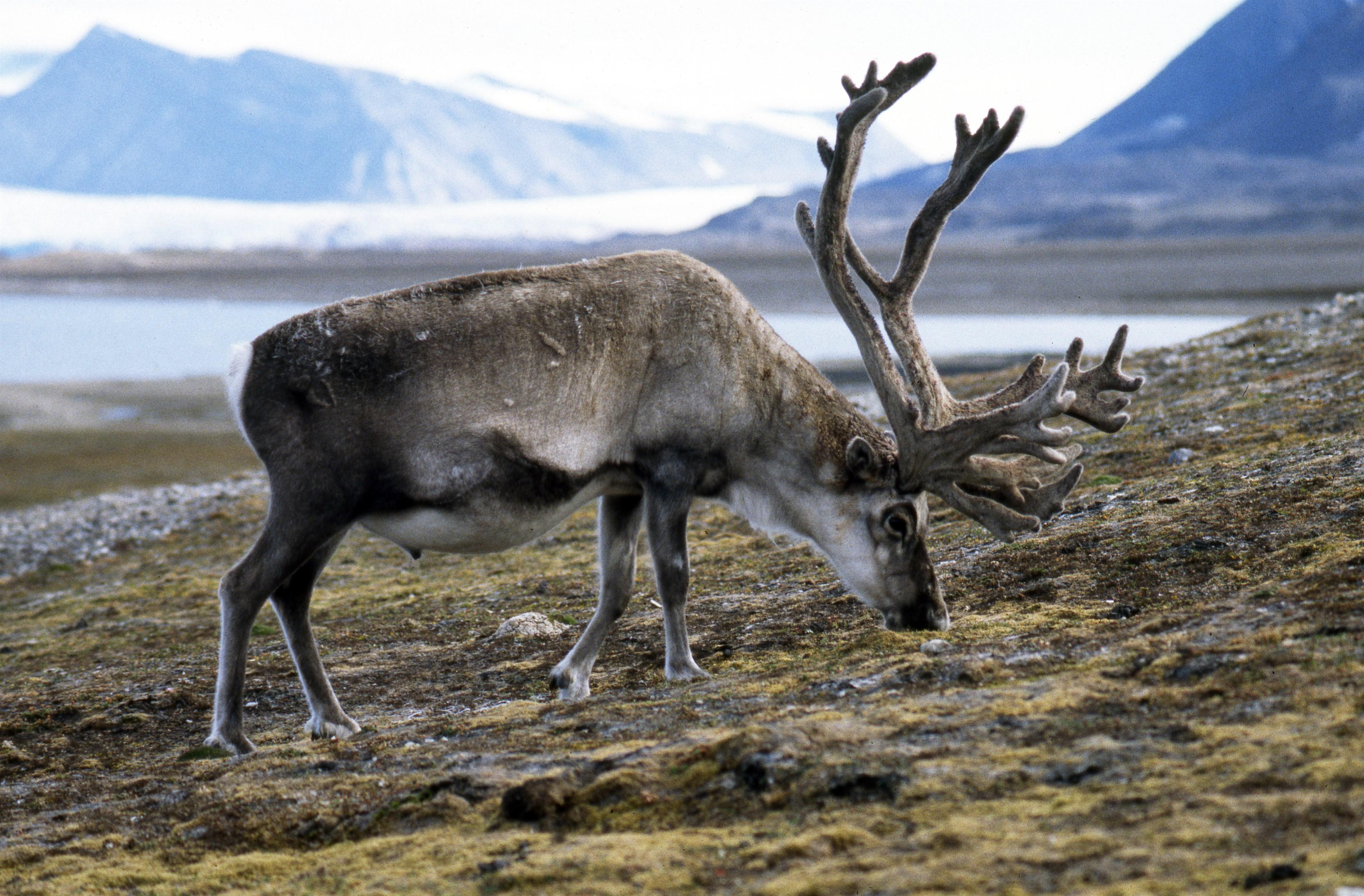 svalbard-reindeer-rangifer-tarandus-platyrhynchus-at-plateau-mountain-near-longyearbyen-svalbard_d765-3500x2300px