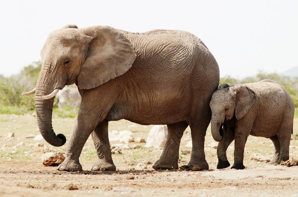 Elephants (loxodonta africana) at waterhole Etoscha National Park
