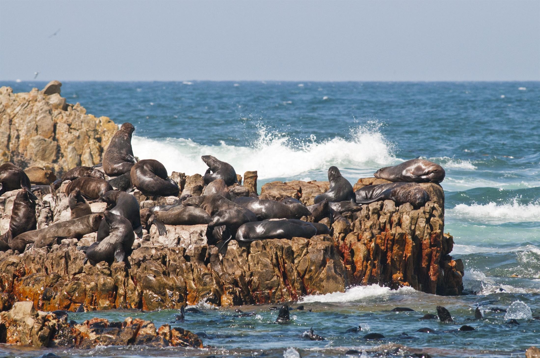 african-fur-seal-arctocephalus-pusillus-dyer-islands-western-cape-south-africa_f96d-2200x1461px
