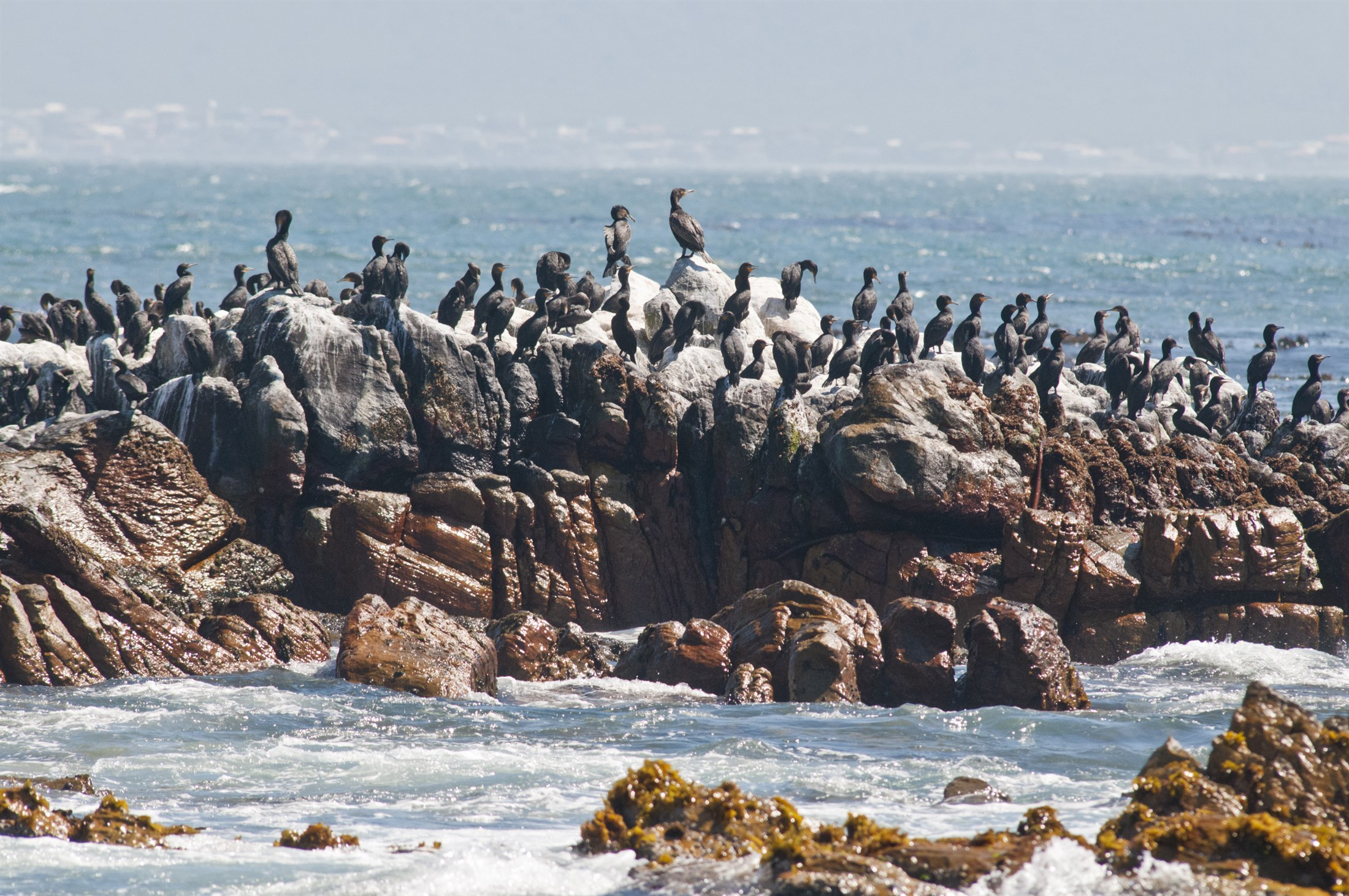 different cormoran species at dyer island south africa