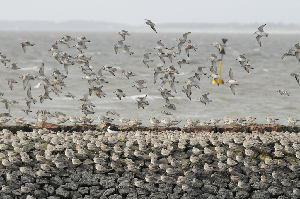 Spring staging knots (Calidris canutus islandica), Hallig Langenes, National Park Schleswig-Holstein Wadden Sea, Germany