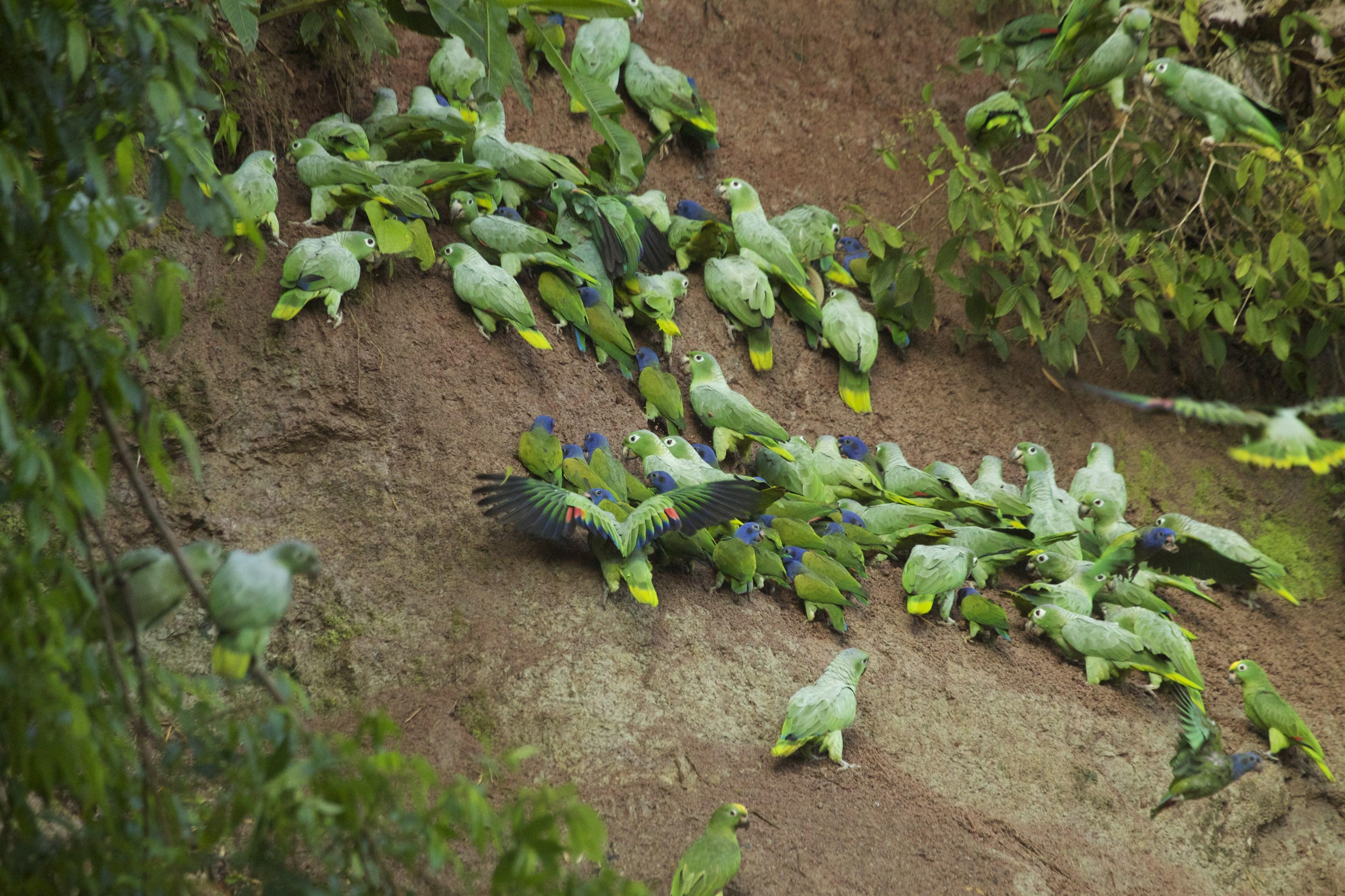 blue-headed-pionus-parrots-in-yasuni-national-park-ecuador_ecbe-3500x2333px