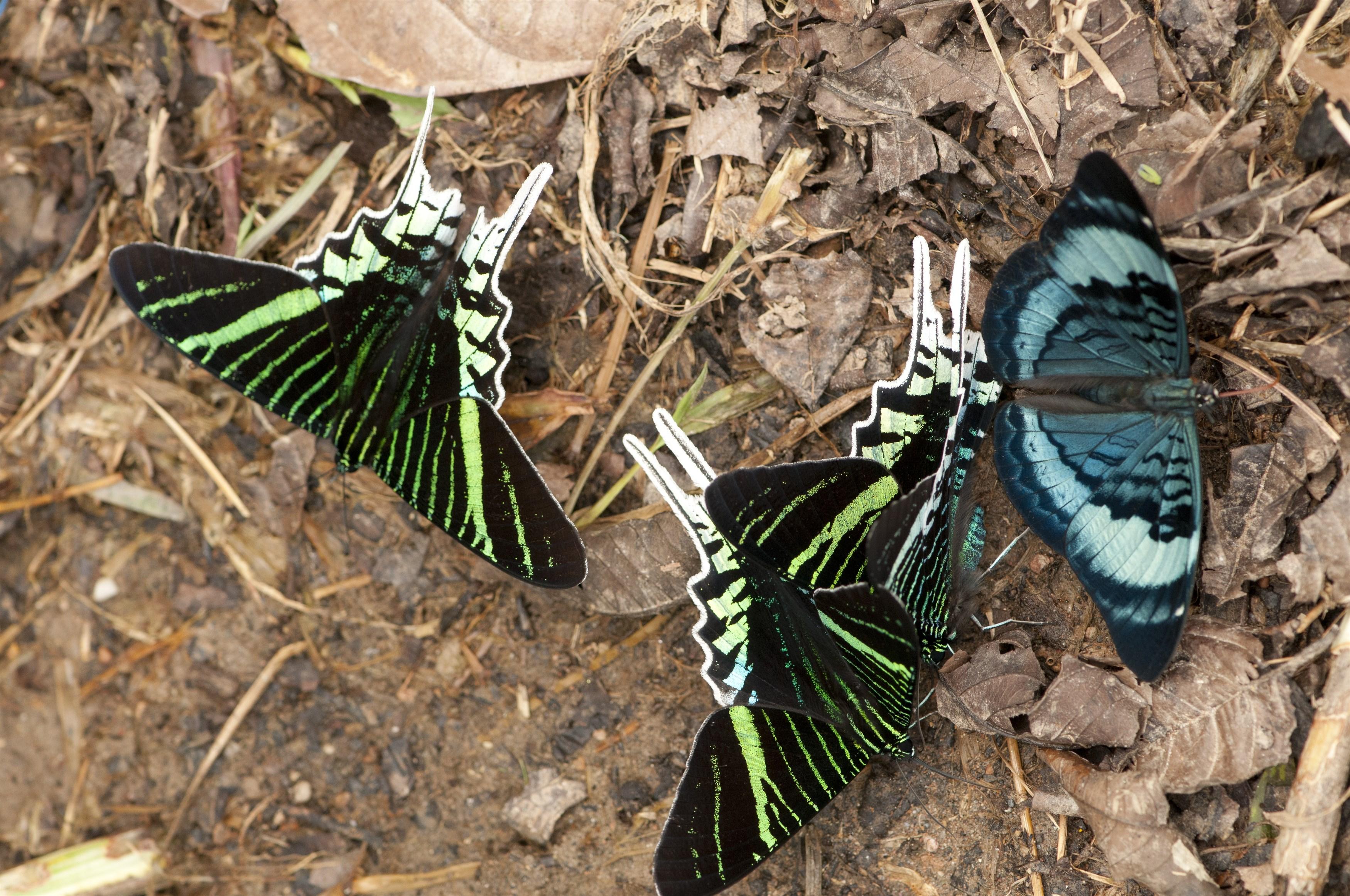 green-banded-urania-urania-leilus-left-panacea-regina-right-yasuni-national-park-ecuador_00b1-3500x2324px
