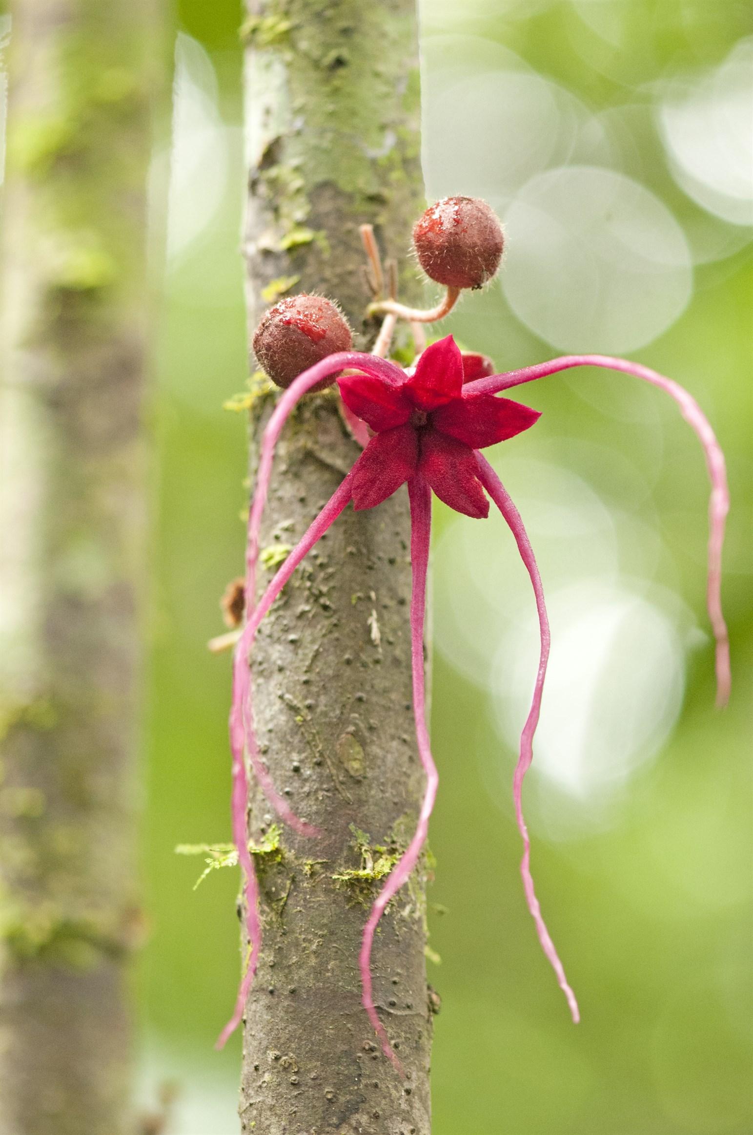 herania-spec-yasuni-national-park-ecuador_69df-2324x3500px