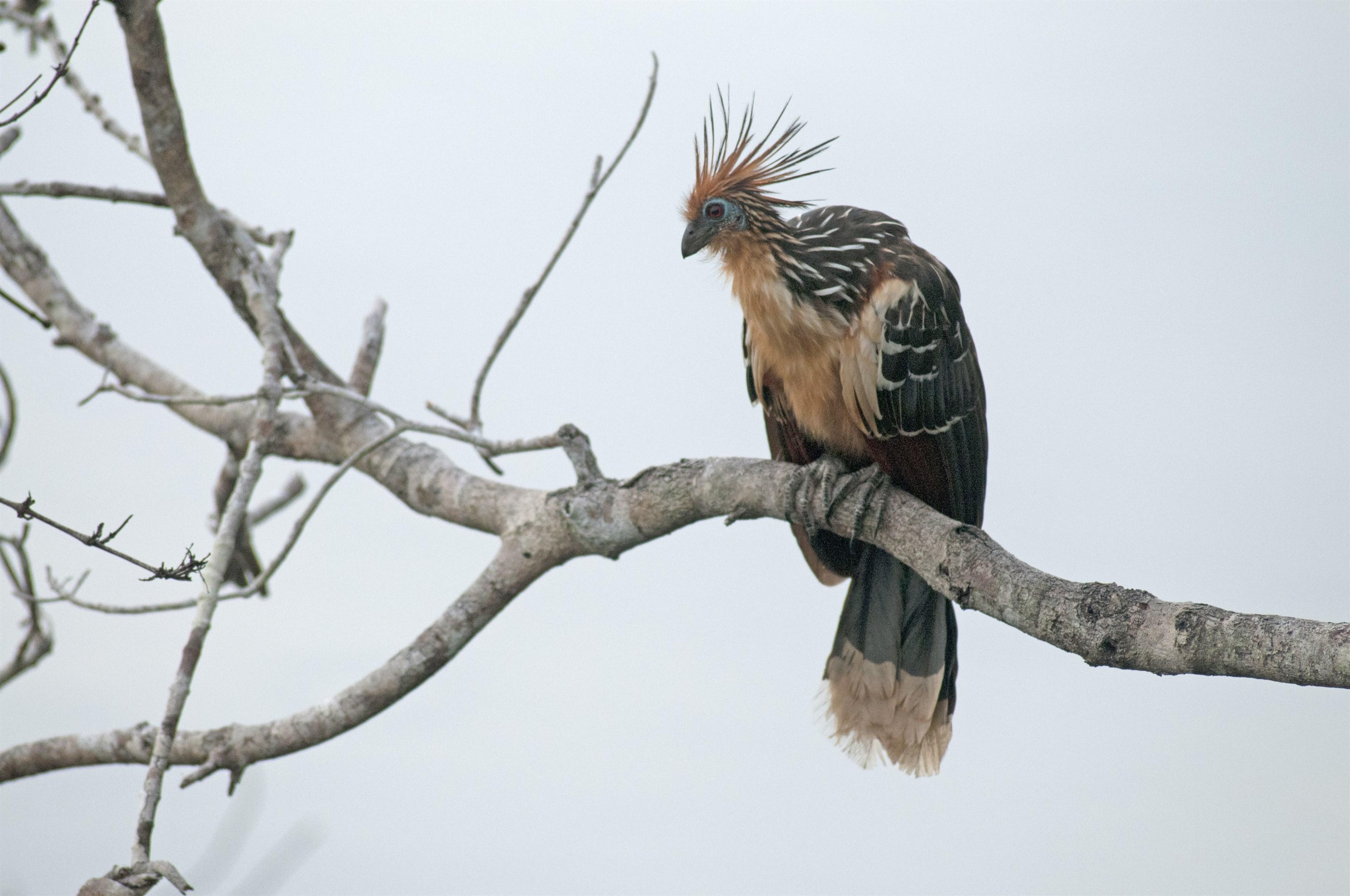 hoatzin-opisthocomus-hoazin-yasuni-national-park-ecuador_d727-3500x2324px