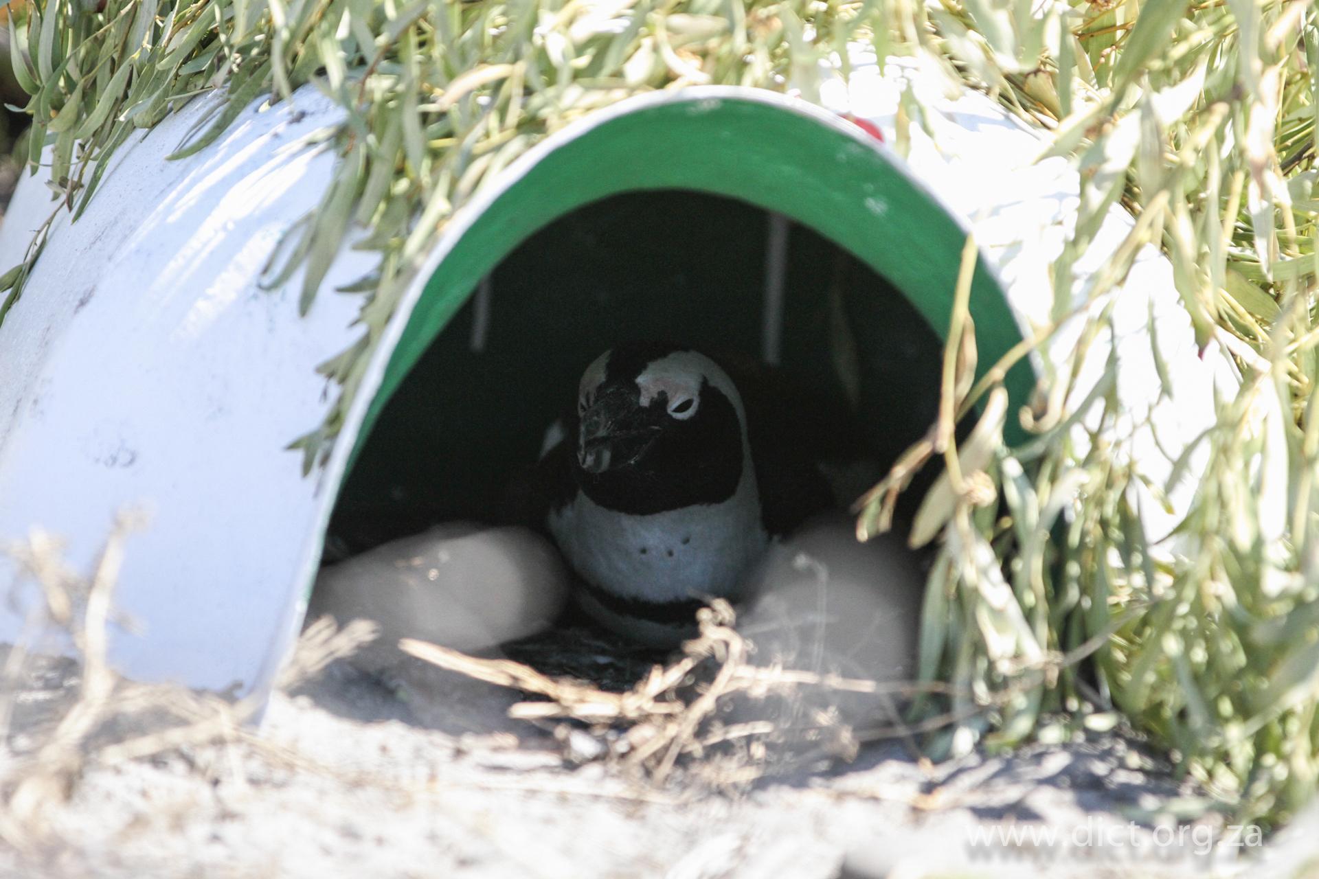 African penguin nest project