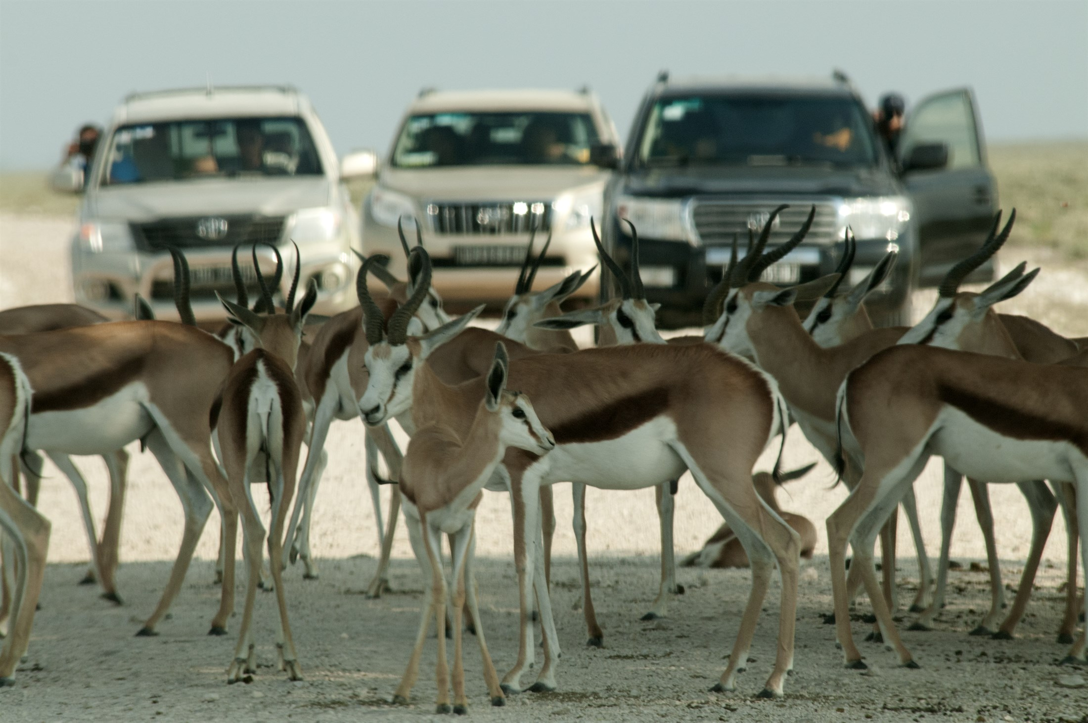 springboks-antidorcas-marsupialis-blocking-the-road-in-etoscha-national-park-namibia_8ce3-2200x1461px