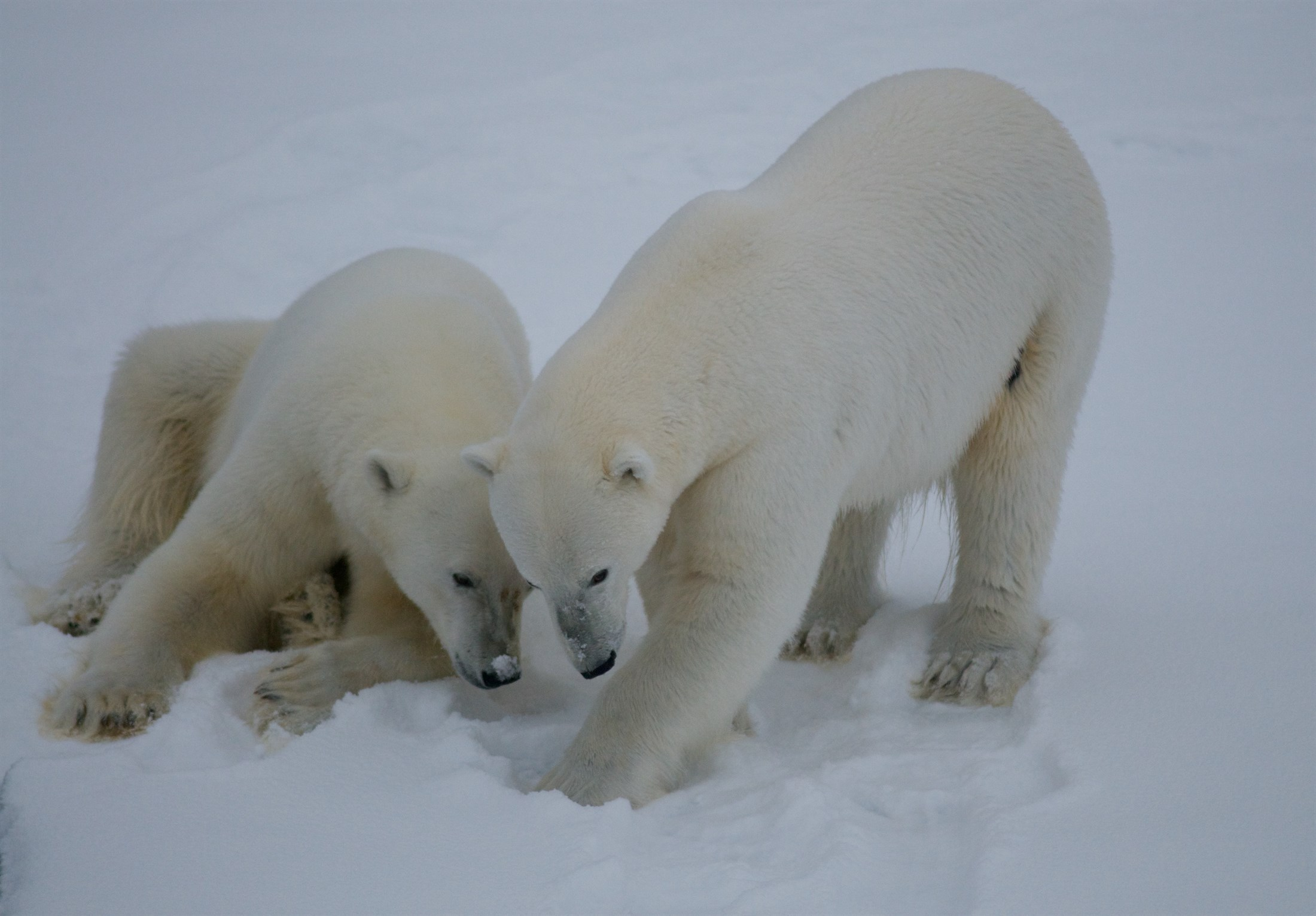 polar-bear-siblings-on-pack-ice-north-of-svalbard_1bec-2200x1531px