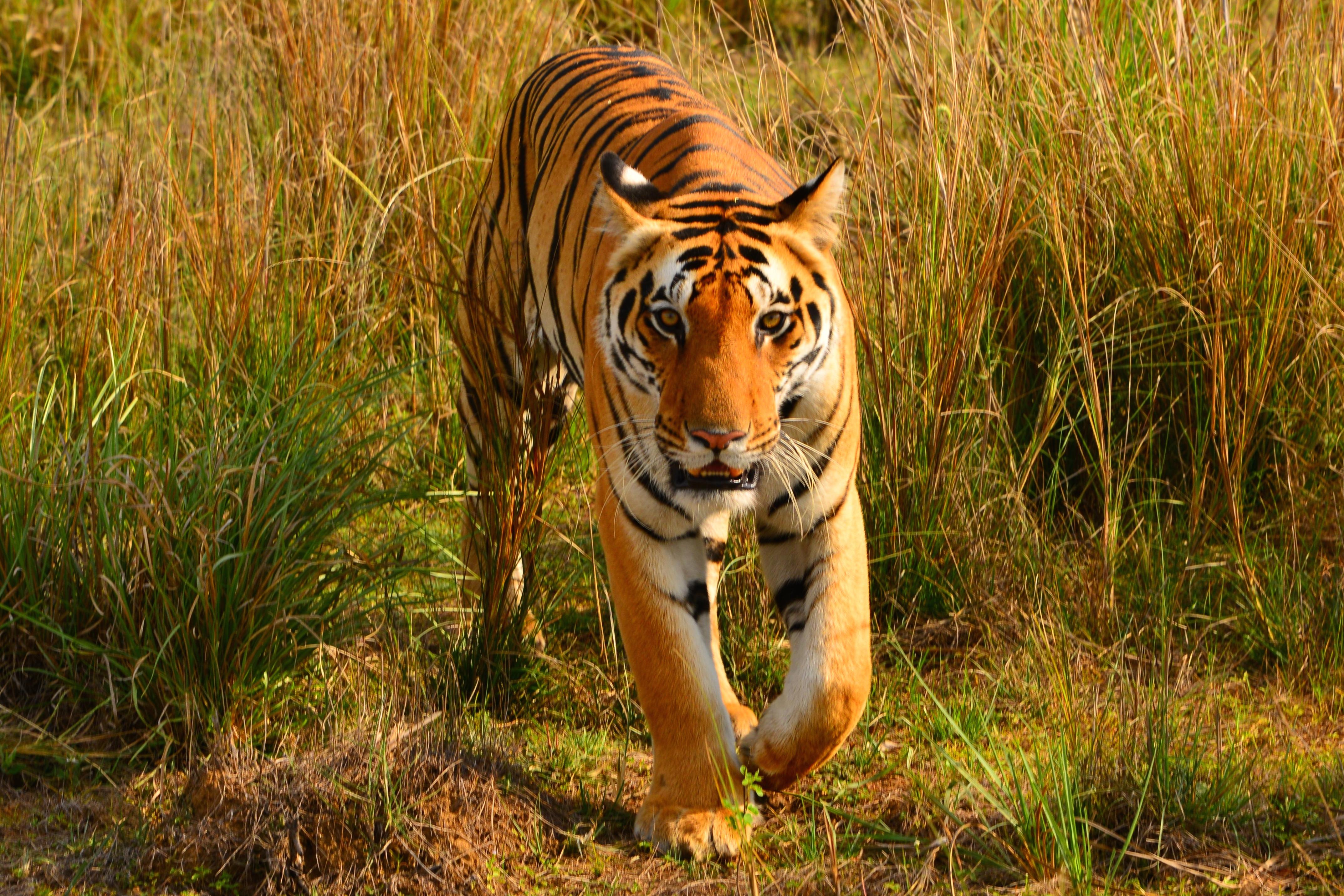 Bengal tiger. Photo: Jack Baucher
