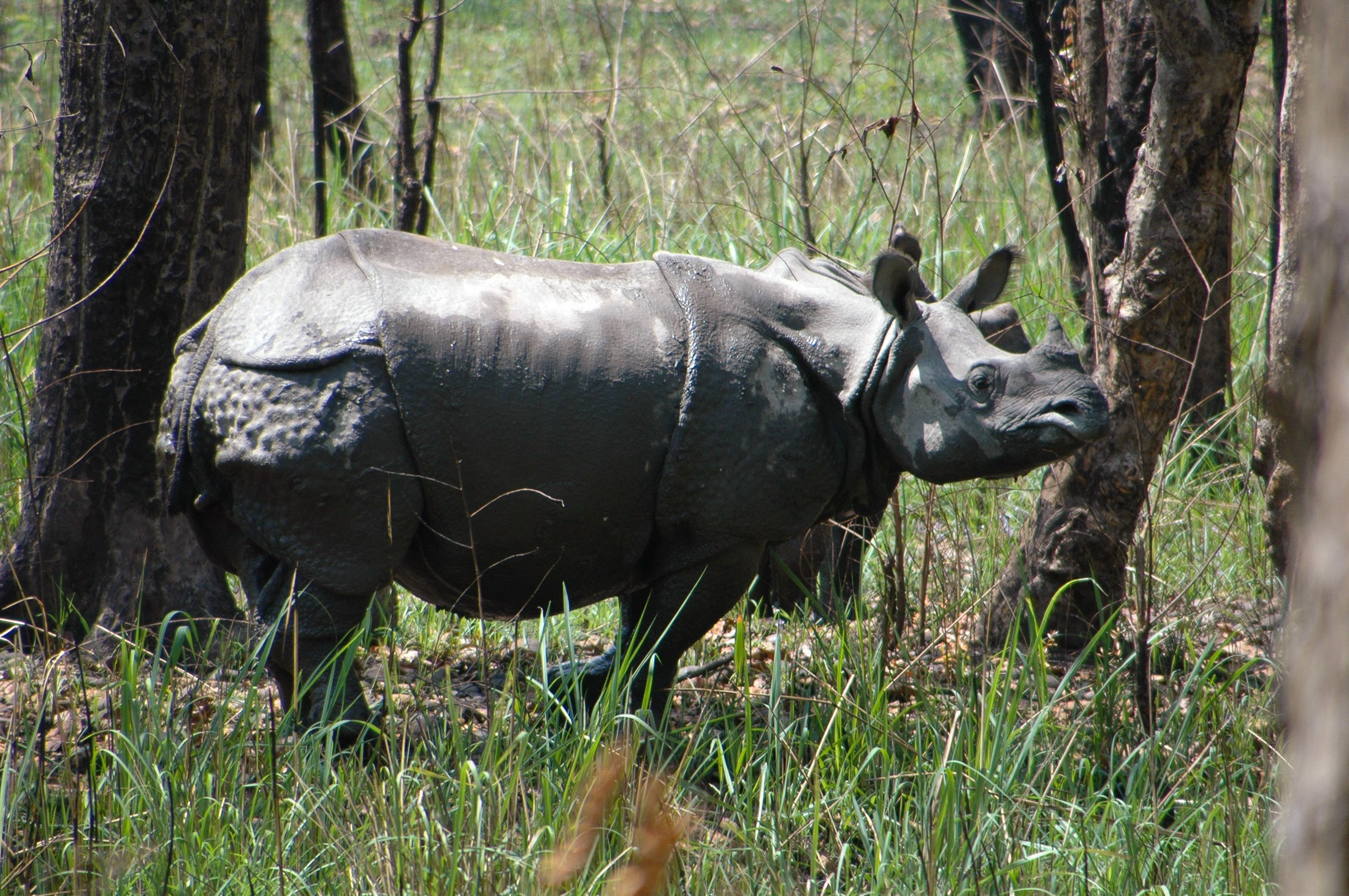 Indian rhinoceros (Rhinoceros unicornio)