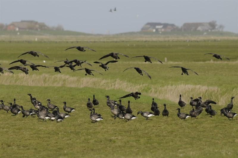 brent-geese-branta-bernicla-on-hallig-langeness-biosphere-reserve-halligen-germany_dfa5-800x531px
