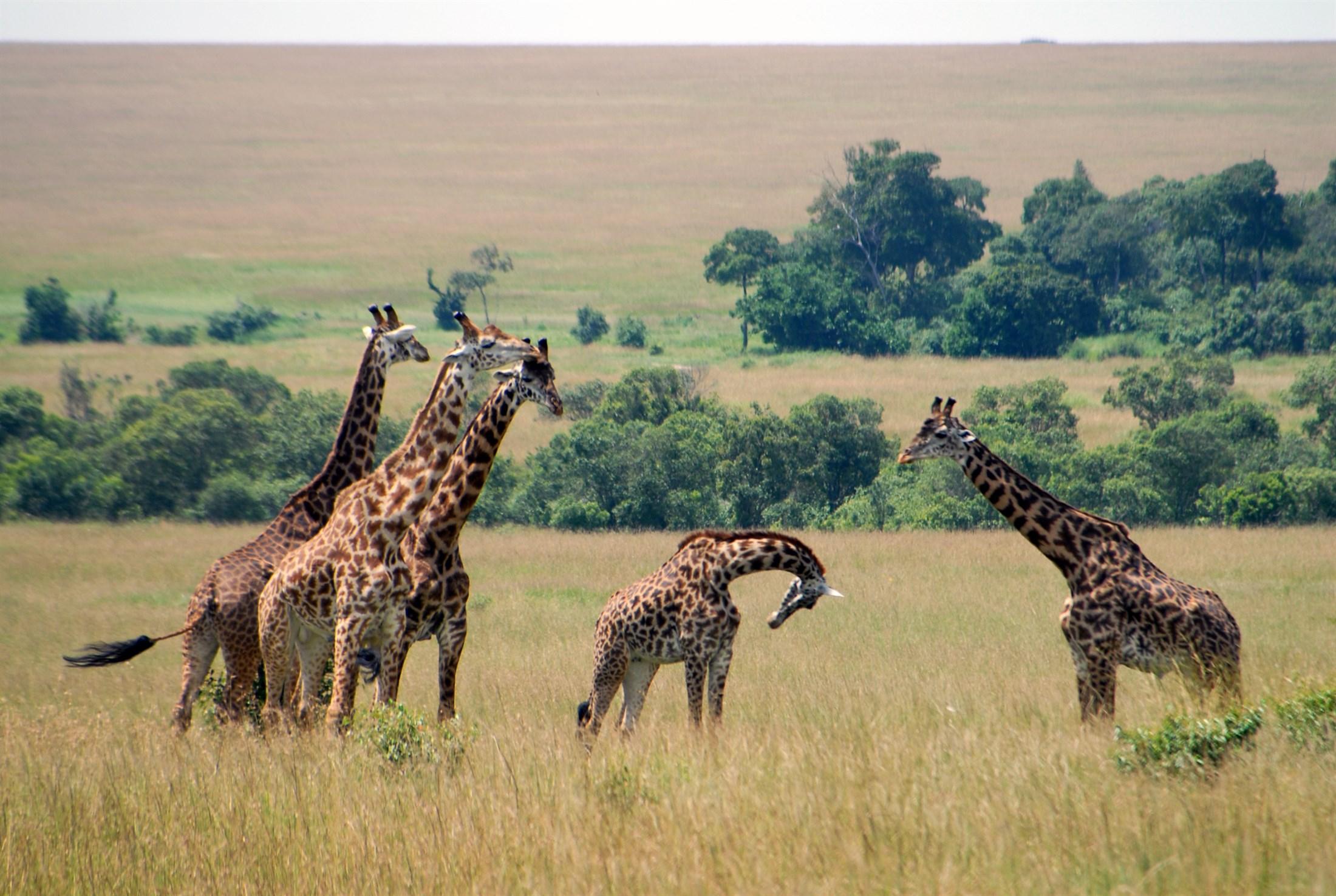 masai-giraffe-giraffa-camelopardalis-tippelskirchi-masai-mara-reserve-kenya_d0f7-2200x1476px