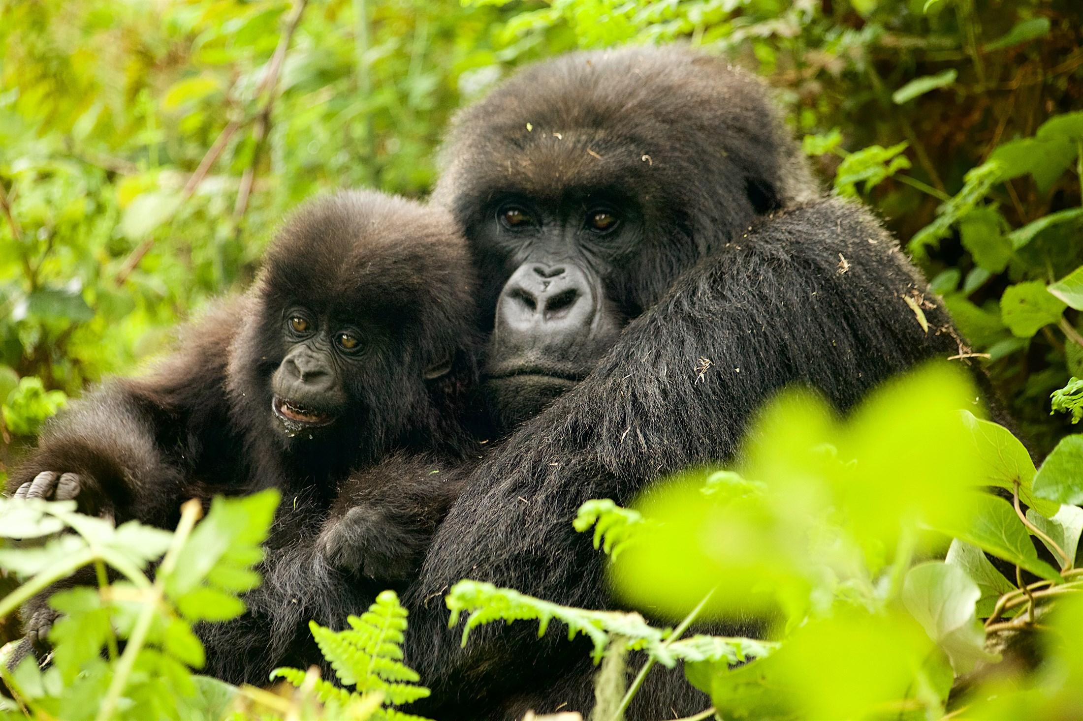 the-isaburu-gorilla-group_08d5-2200x1466px