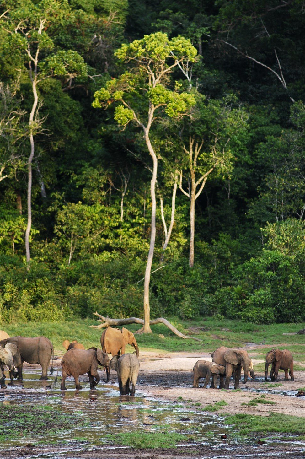 forest-elephants-loxodonta-cyclotis-in-the-dzanga-sangha-reserve-central-african-republic_0eee-1462x2200px