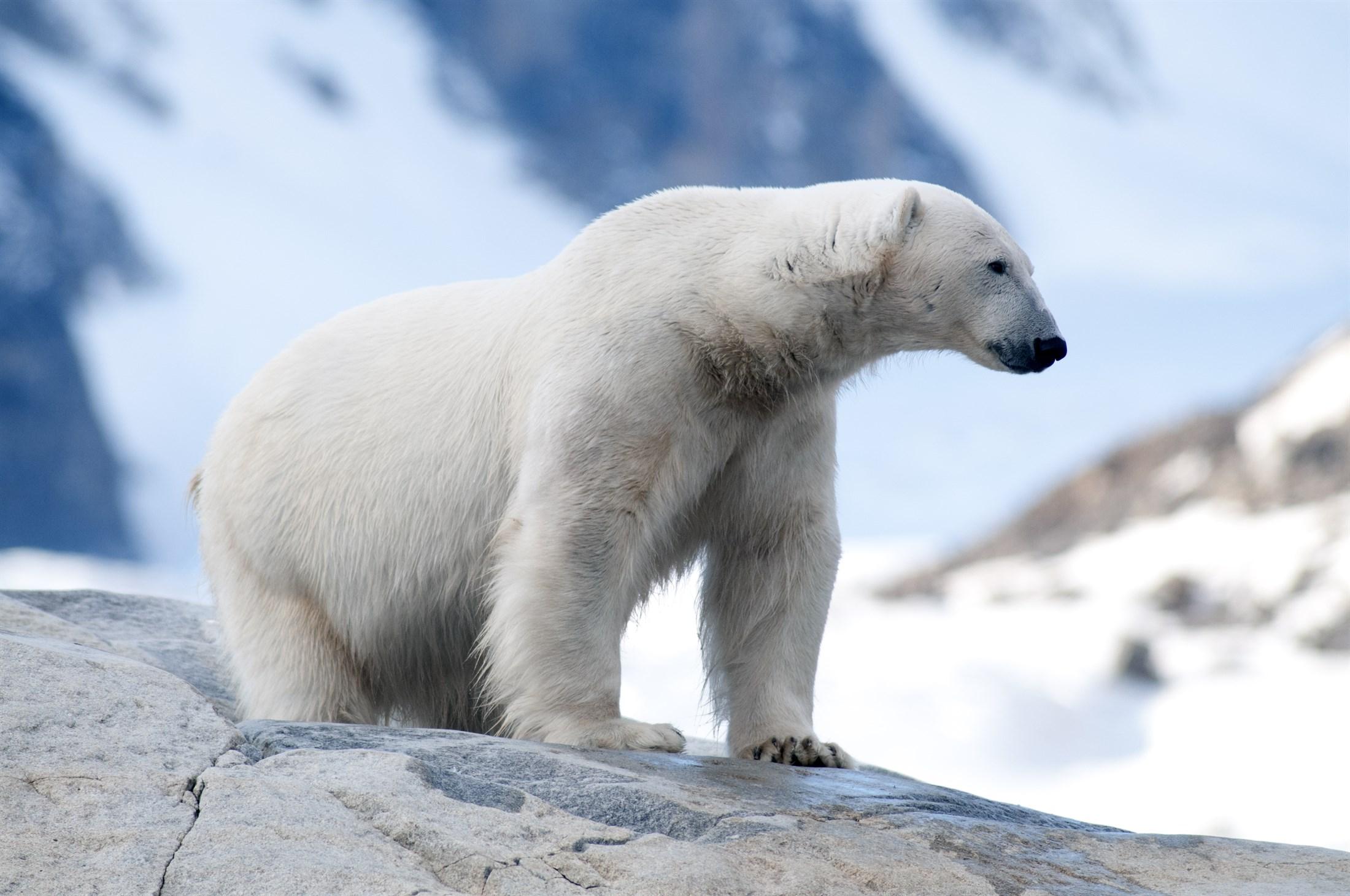 polar-bear-ursus-maritimus-northwest-spitsbergen-national-park-svalbard_1f47-2200x1461px