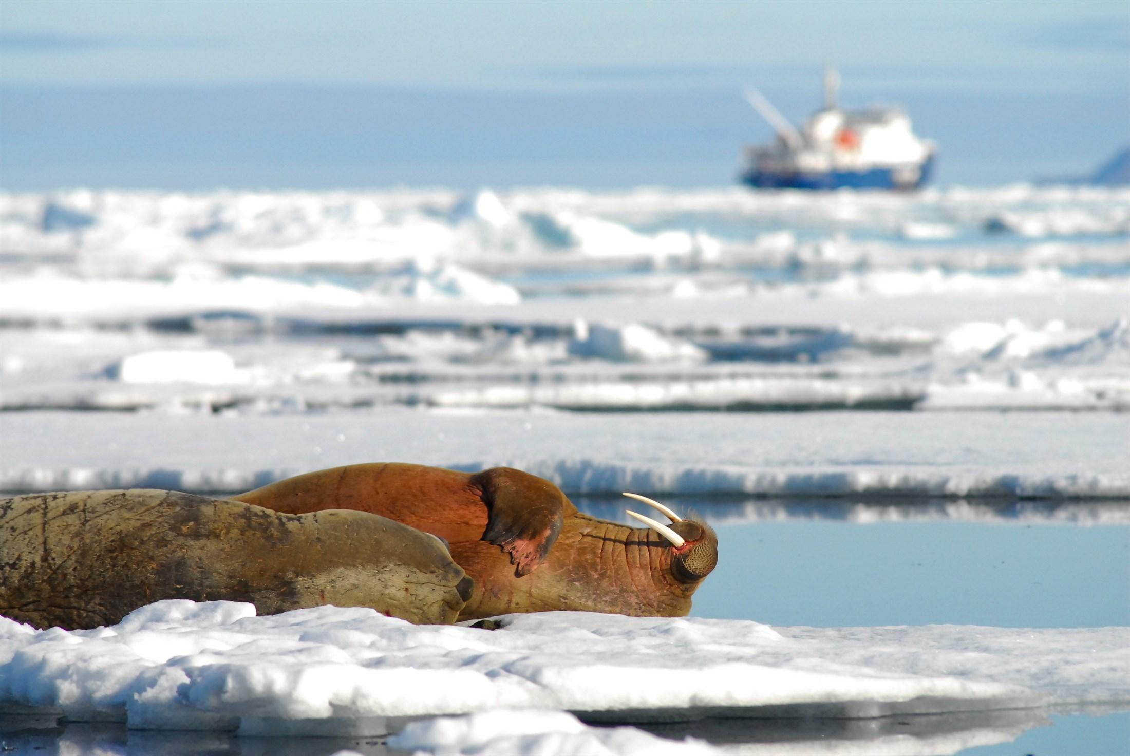 walrus-odobenus-rosmarus-svalbard_b5ee-2200x1472px