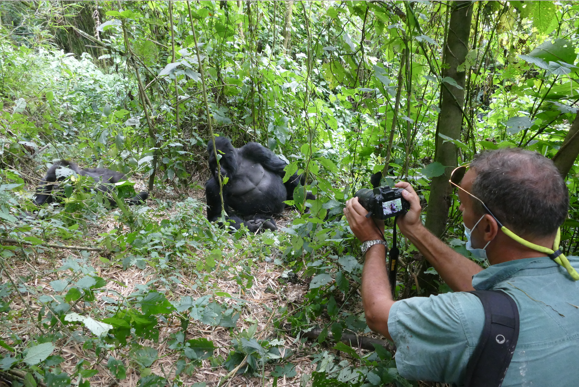 Tourist and Mountain Gorilla