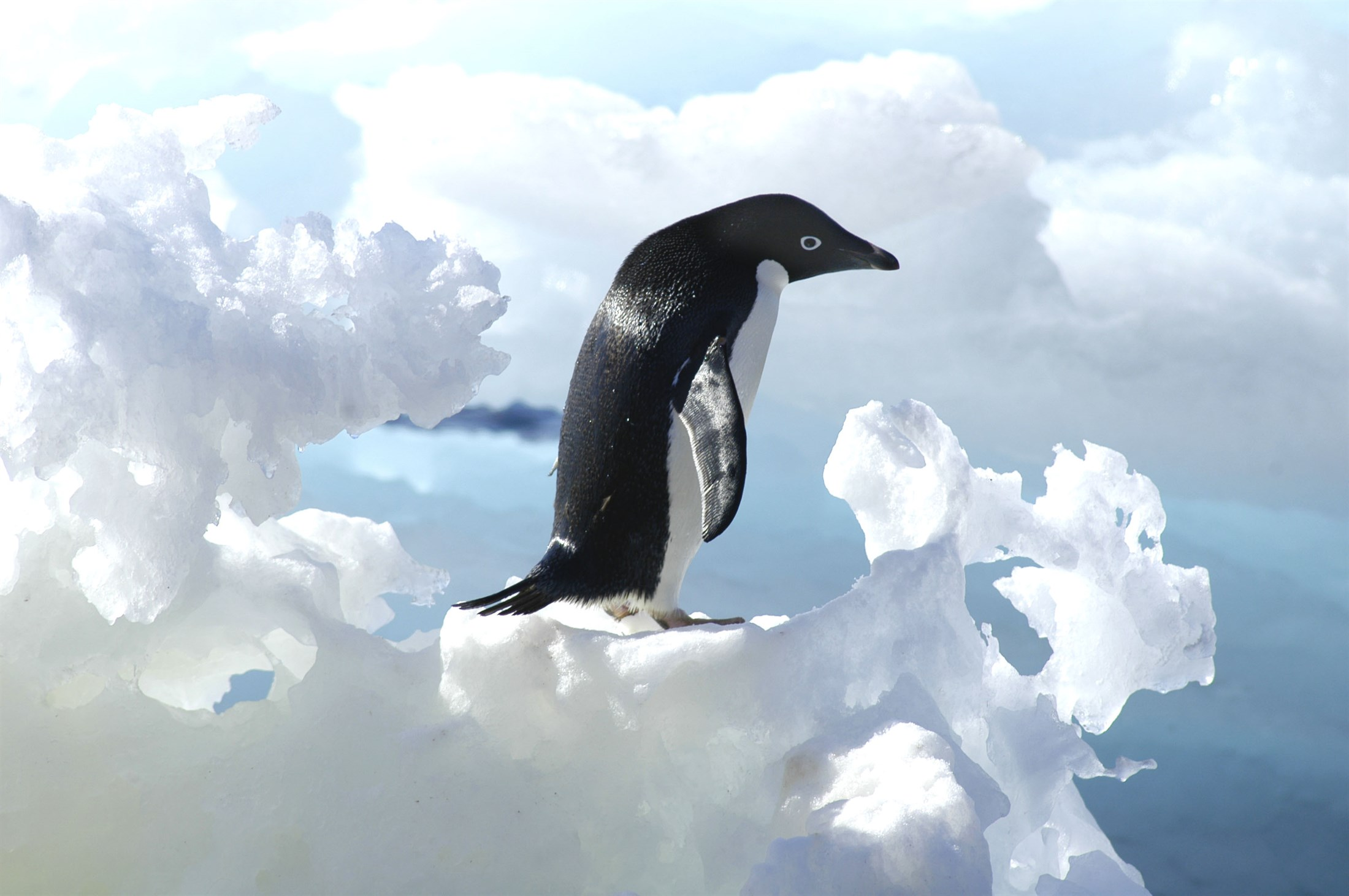 Adelie Penguin. Photo: Peter Prokosch