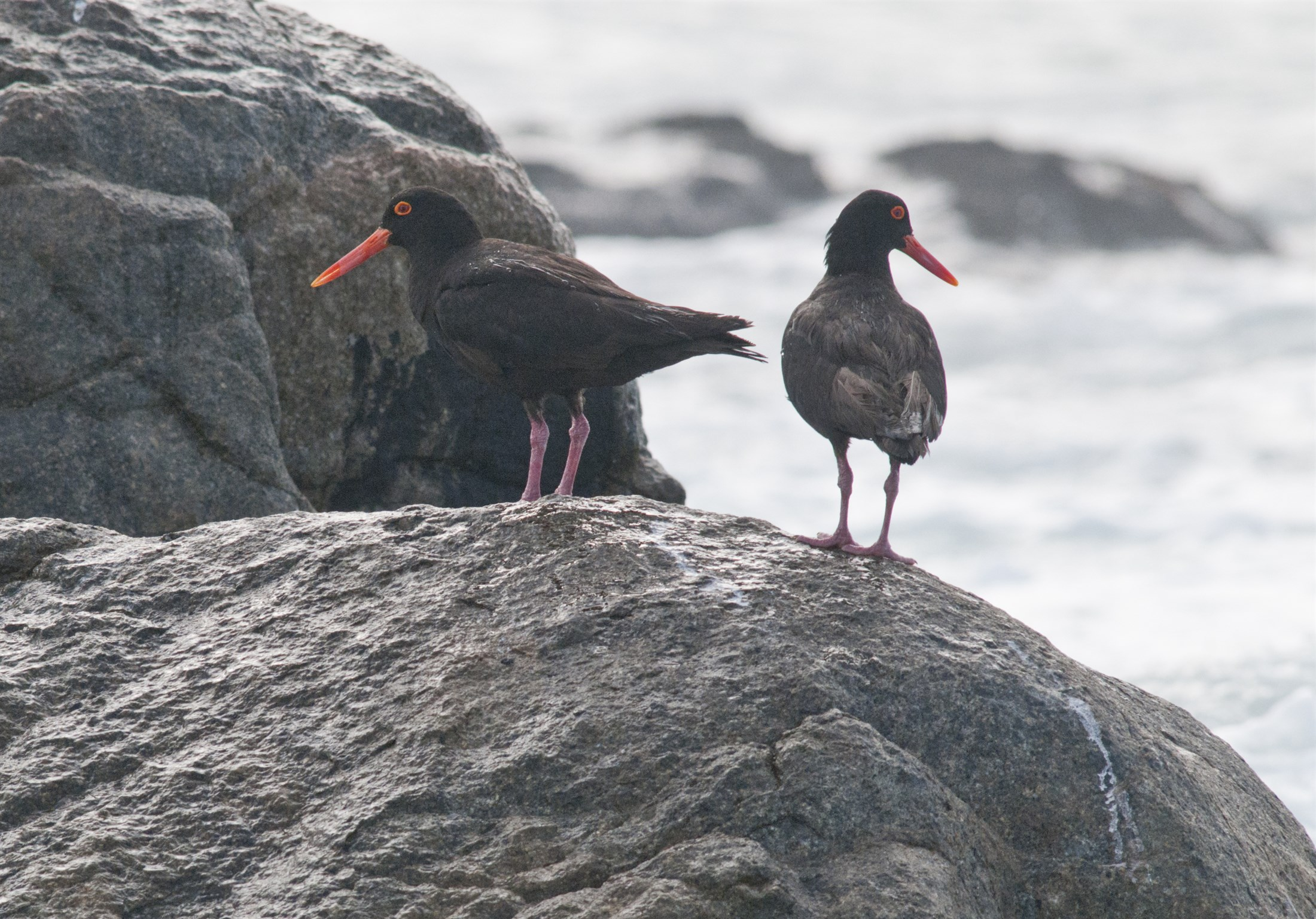 Black Oystercatcher, Westcoast National Park
