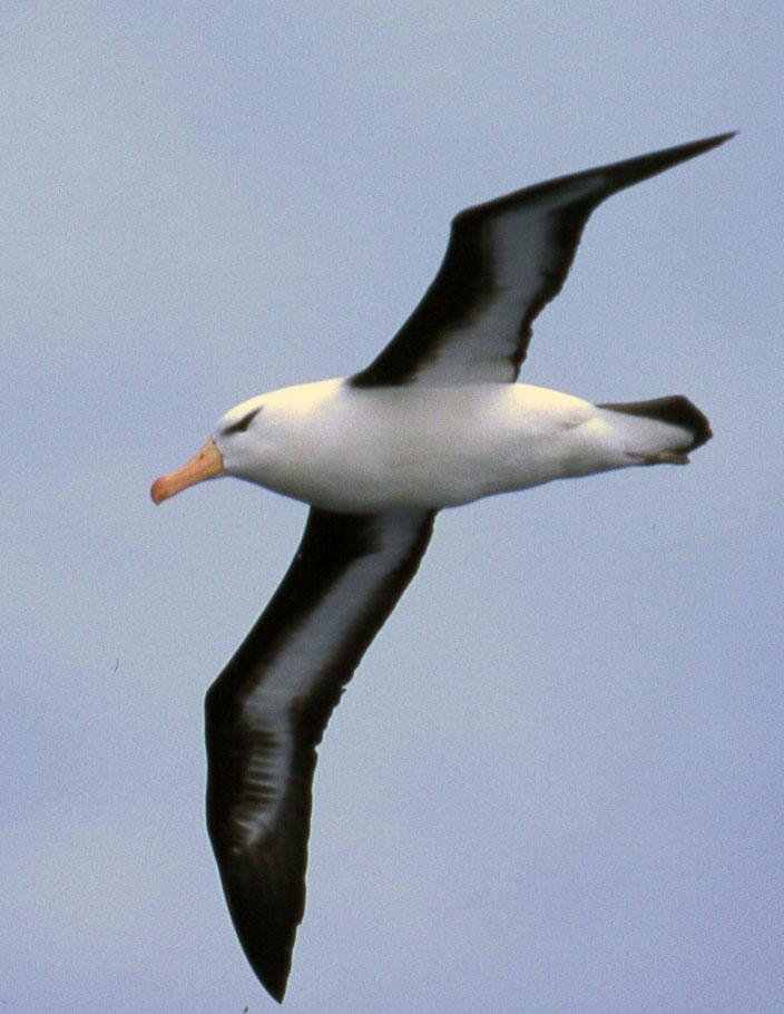 black-browed-albatross-thalassarche-melanophrys-antarctic-peninsular_2102-704x910px