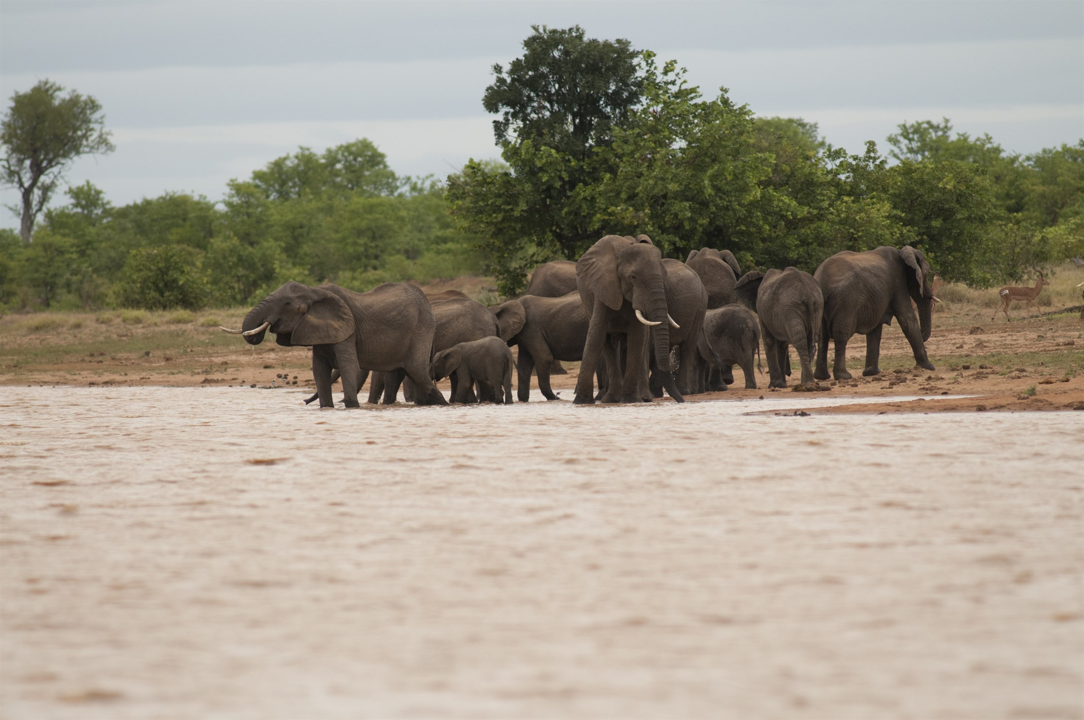 Africa elephants, Krüger national park