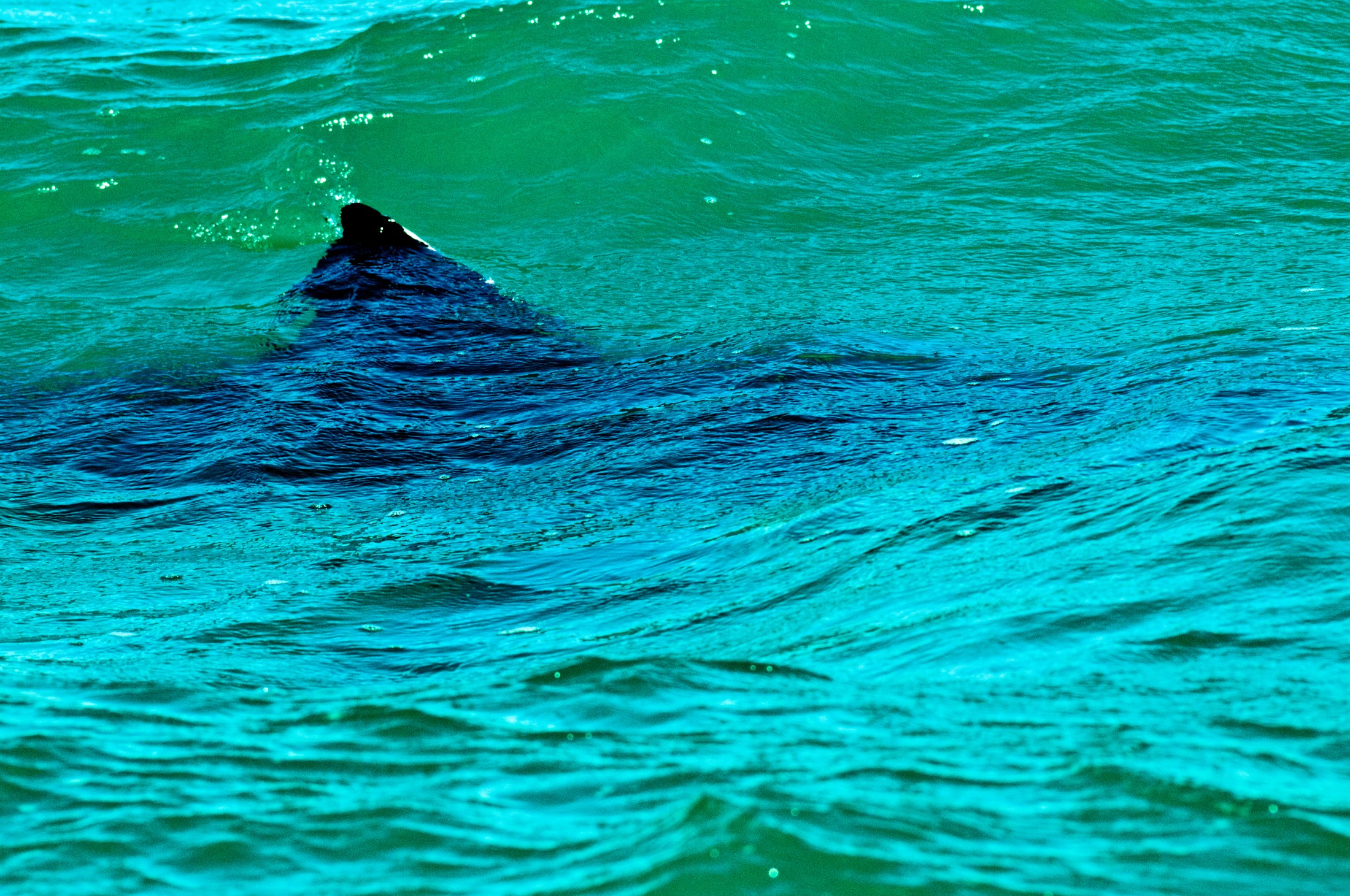 great-white-shark-carcharodon-carcharias-gaansbaai-western-cape-south-africa_c007-2200x1461px-2