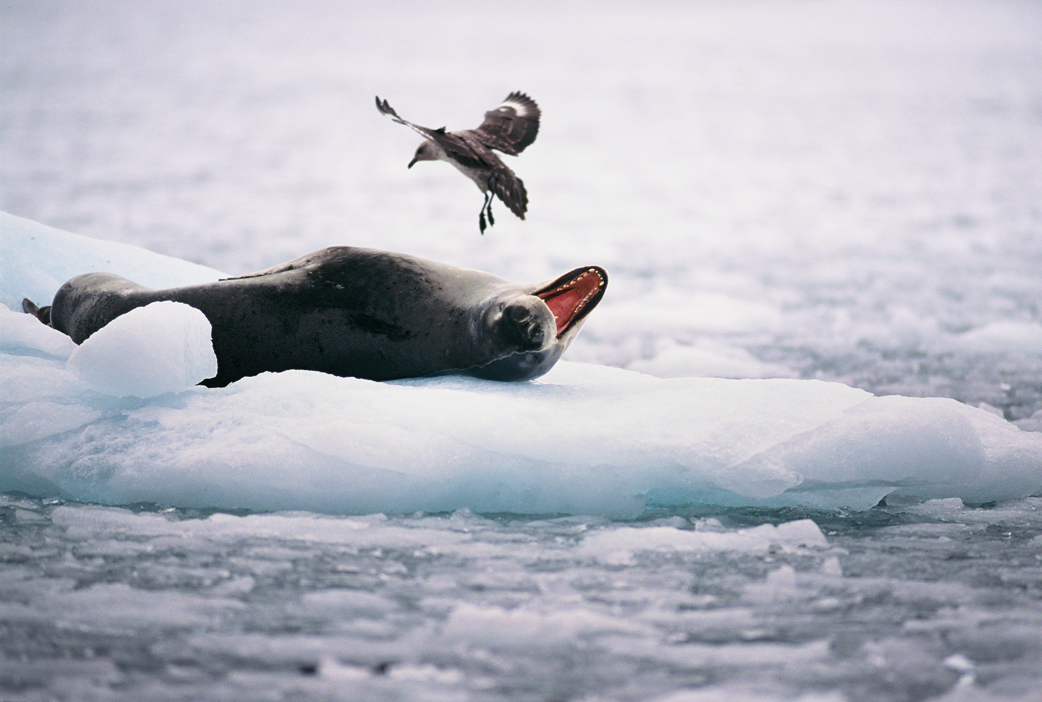 leopard-seal-hydrurga-leptonyx-and-antarctic-skua-catharacta-maccormicki-antarctic-peninsula_c7aa-2128x1433px