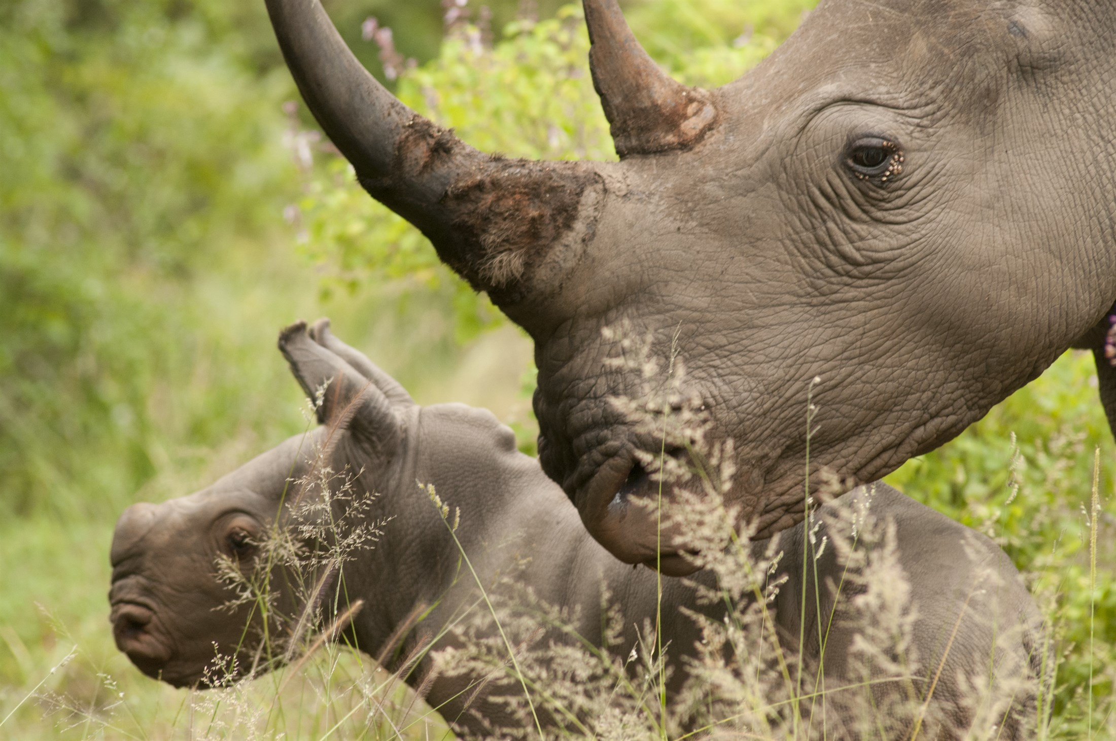 White Rhino mother with young