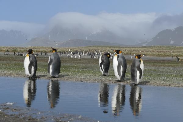 Study Falklands, South Georgia, Antarctica and meet at least 6 penguin species @ Falkland Islands (Islas Malvinas)