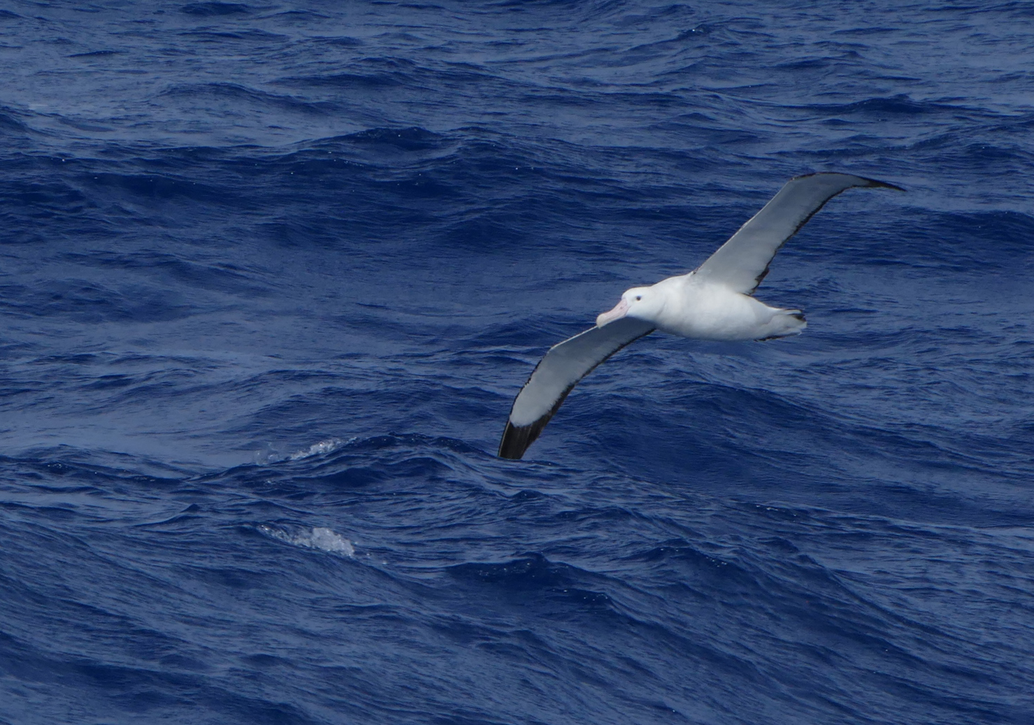Wandering Albatross benefit from SGHT Habitat Restauration Project. Photo: Peter Prokosch