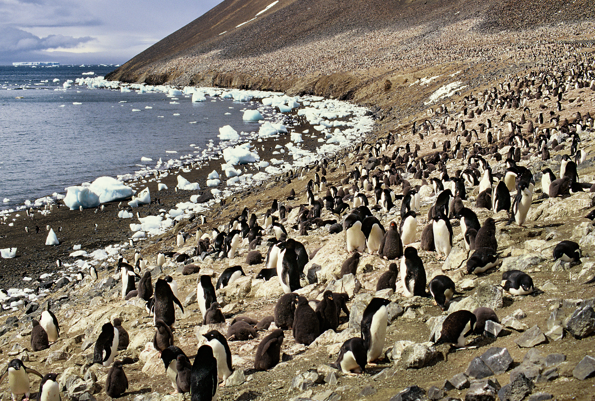 Adelie Penguin colony. Photo: Peter Prokosch