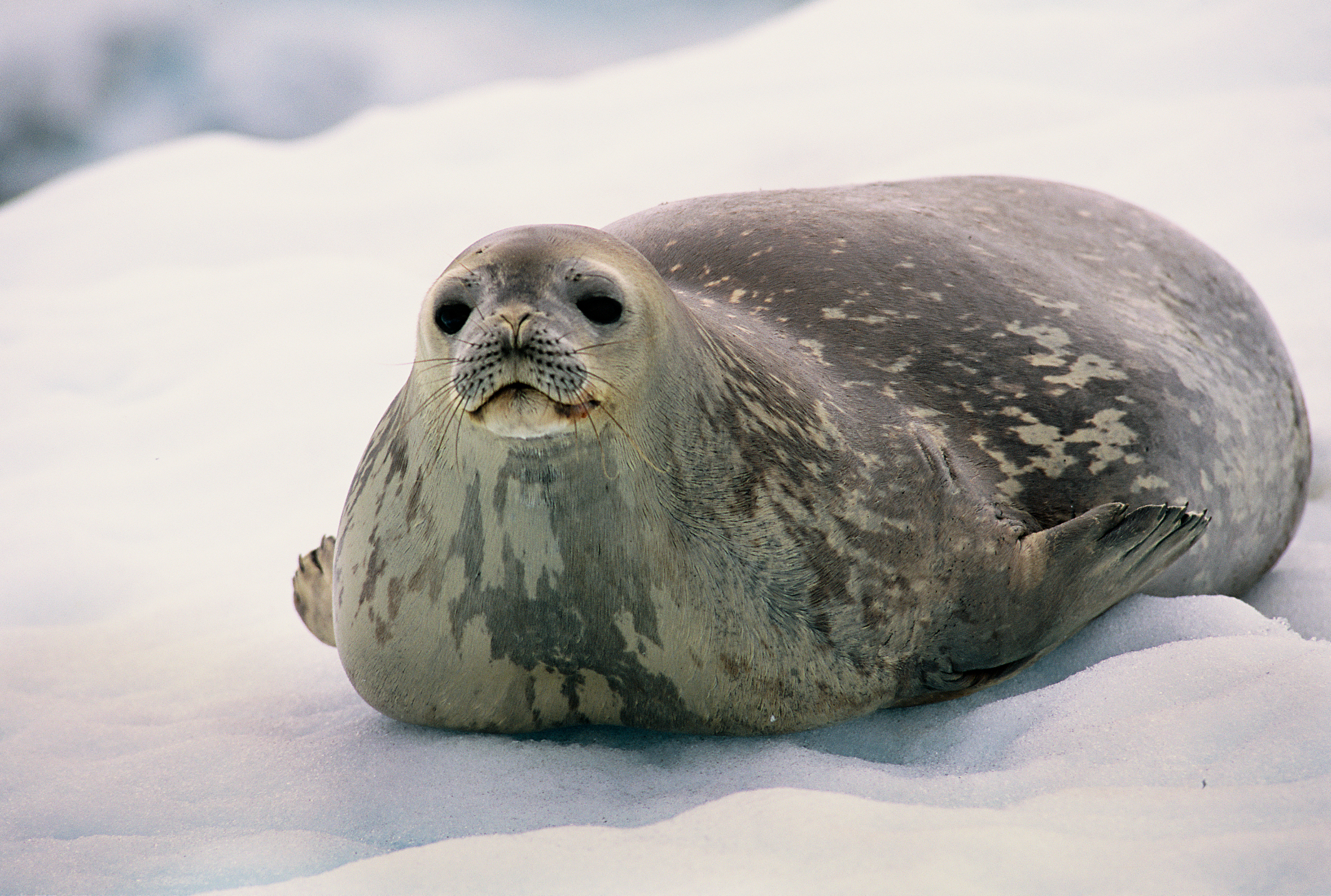 weddell-seal-leptonychotes-weddellii-antarctic-peninsula_f9b6-2128x1433px
