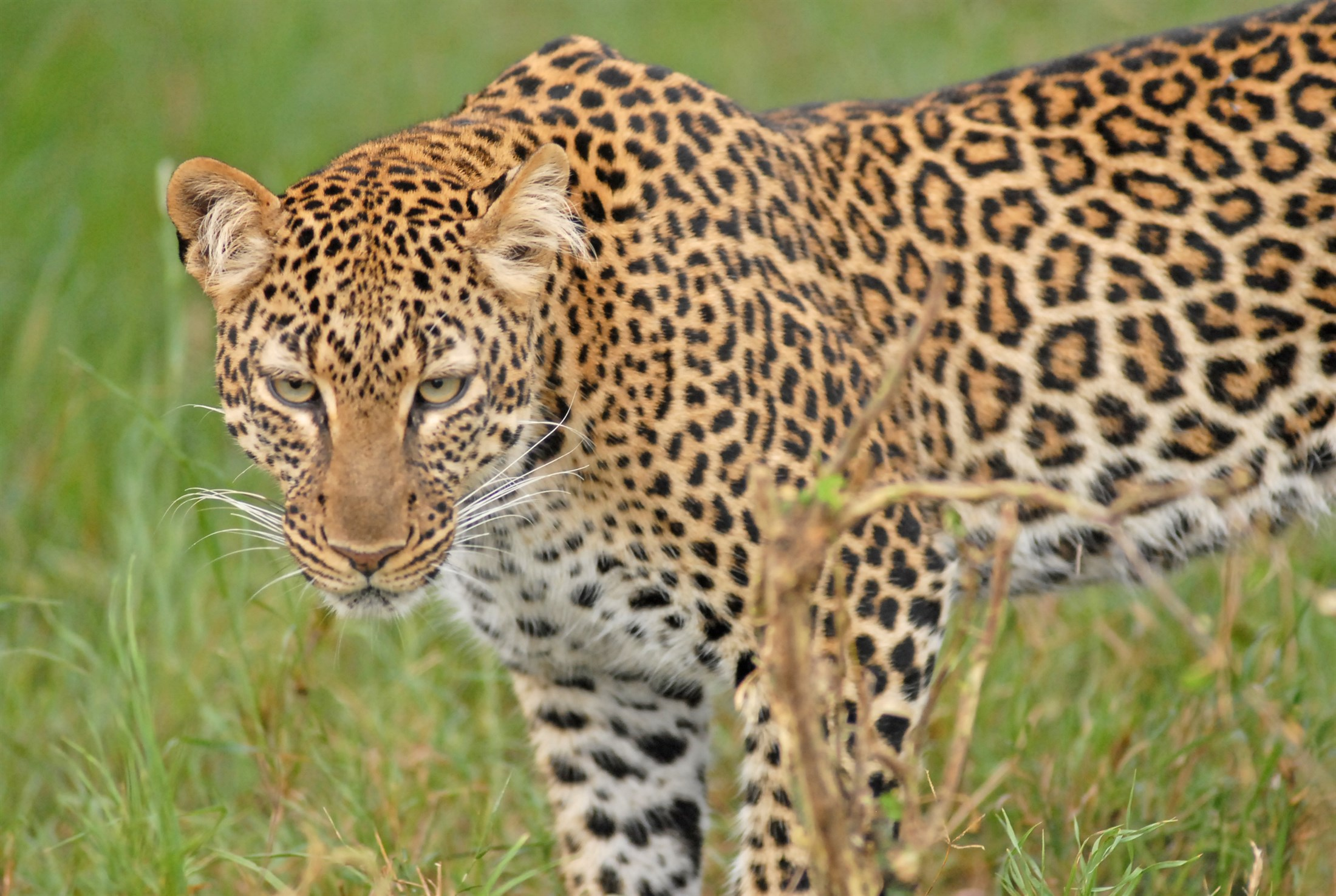leopard-panthera-pardus-masai-mara-reserve-kenya_173e-2200x1476px