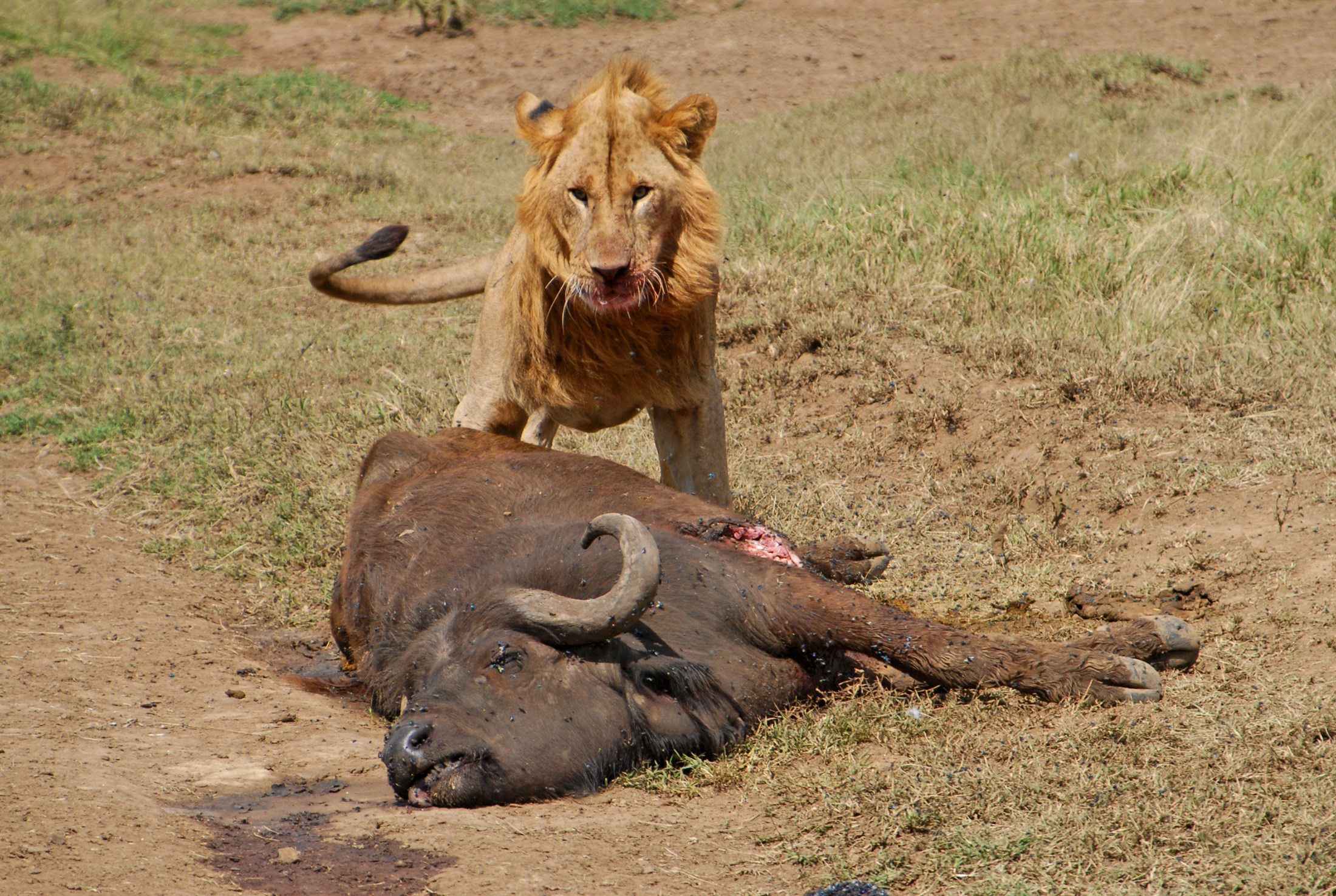 Male Lion (Panthera Leo) and buffalo