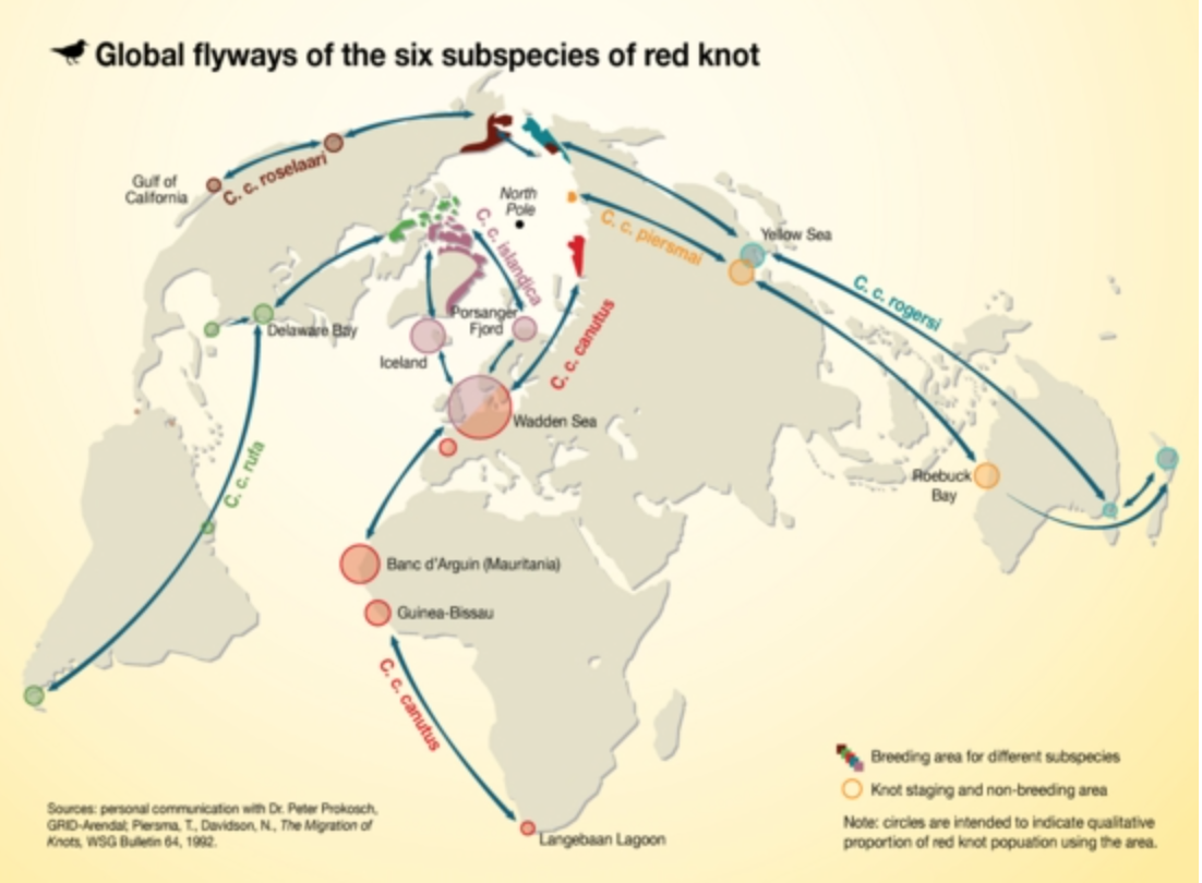 Red Knot Global Flyways