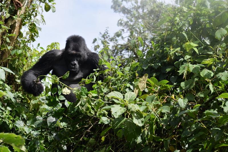 East Africa Study Tour -  Mountain- and Eastern Lowland Gorillas @ Musanze, Rwanda | Ruhengeri | Northern Province | Rwanda