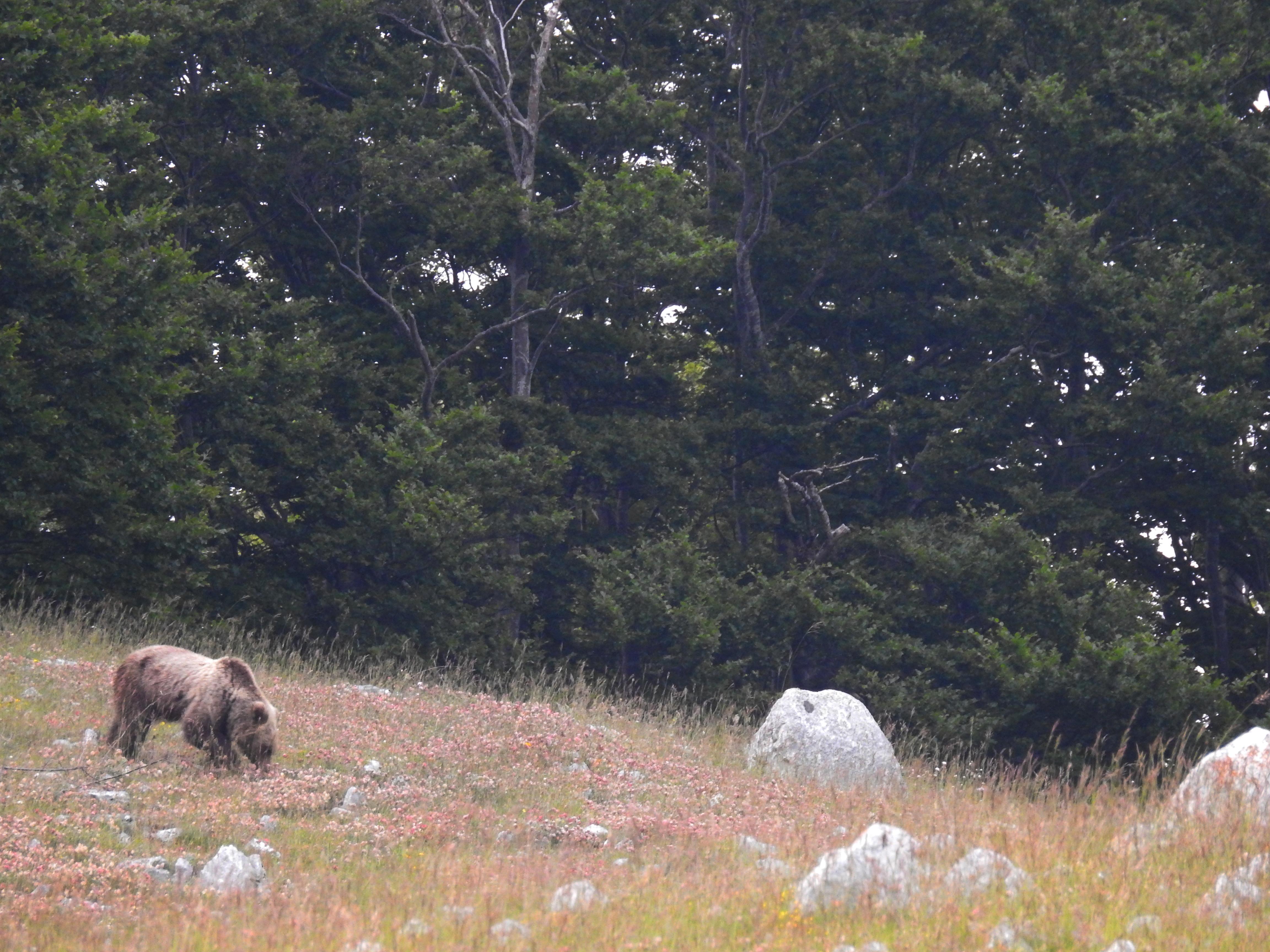 Marsican brown bear (Ursus arctos marsicanus)