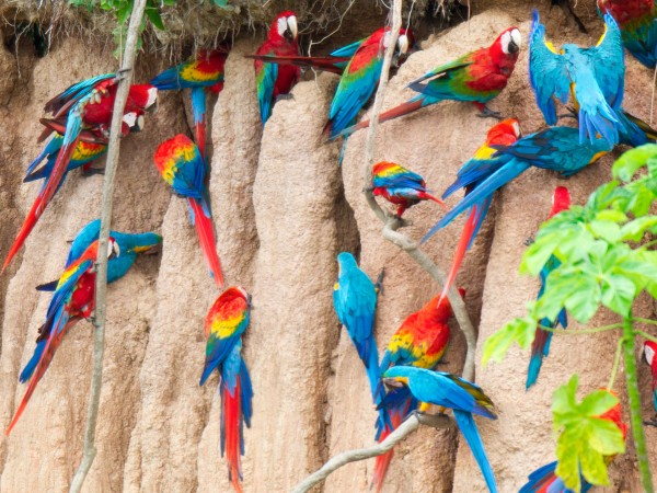 Vamos Expeditions can organize your Amazon adventure in which you visit protected areas and macaw claylicks.