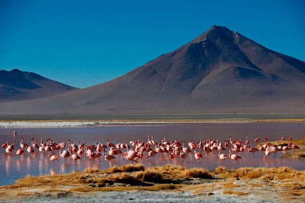 Flamingos feeding themselves at a high altitude lake in the National Park Eduardo Avaroa in Bolivia.