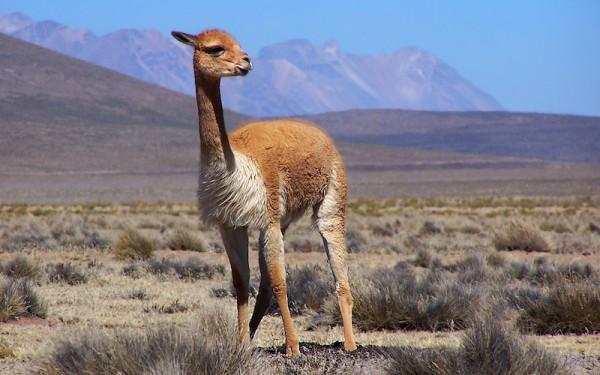 Vicuña in protected area in Peru