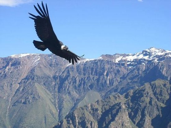 This is an image of the majestic Andean Condor, a protected bird in Peru.