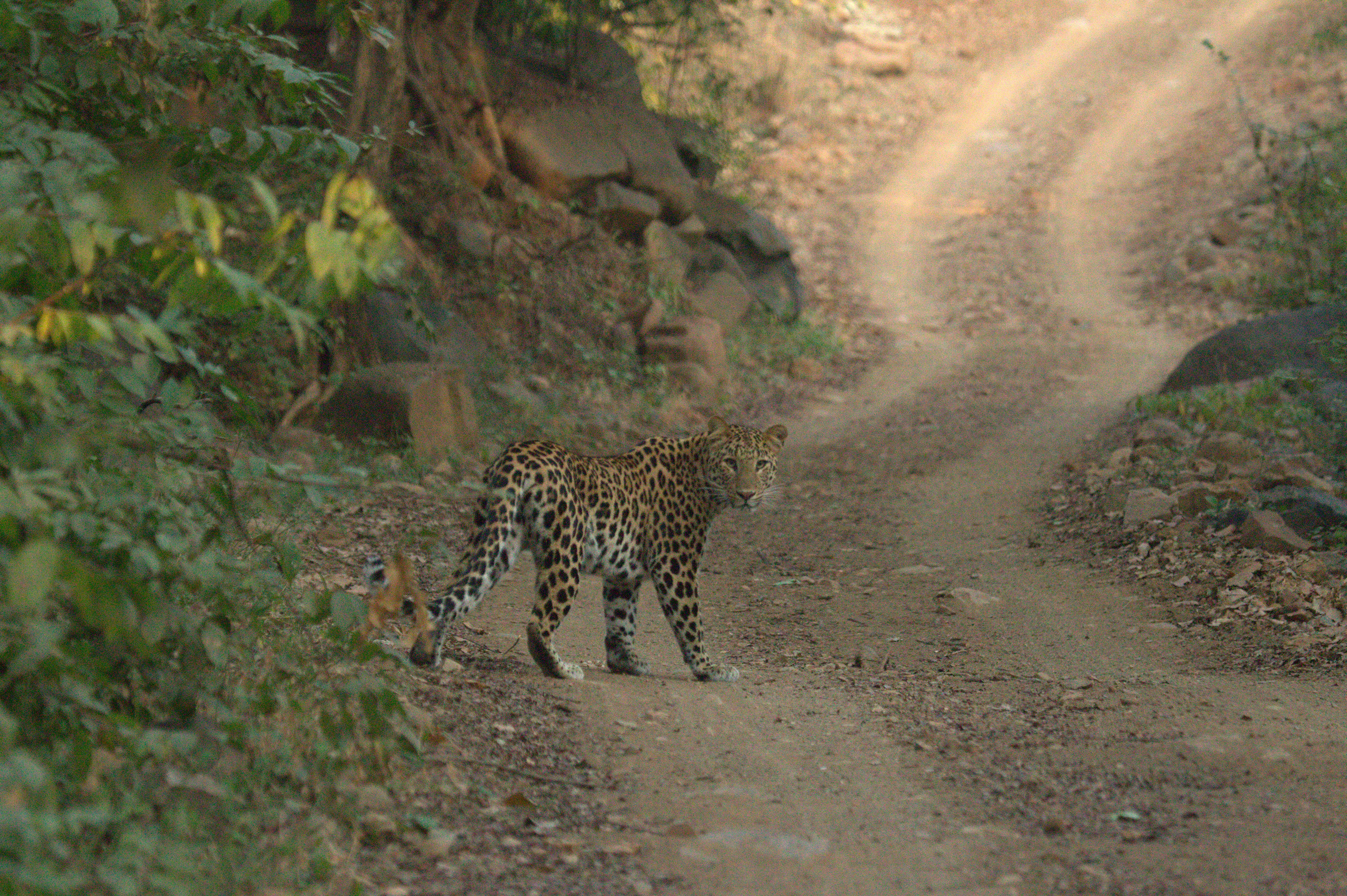 Leopard in Ranthambhore National Park