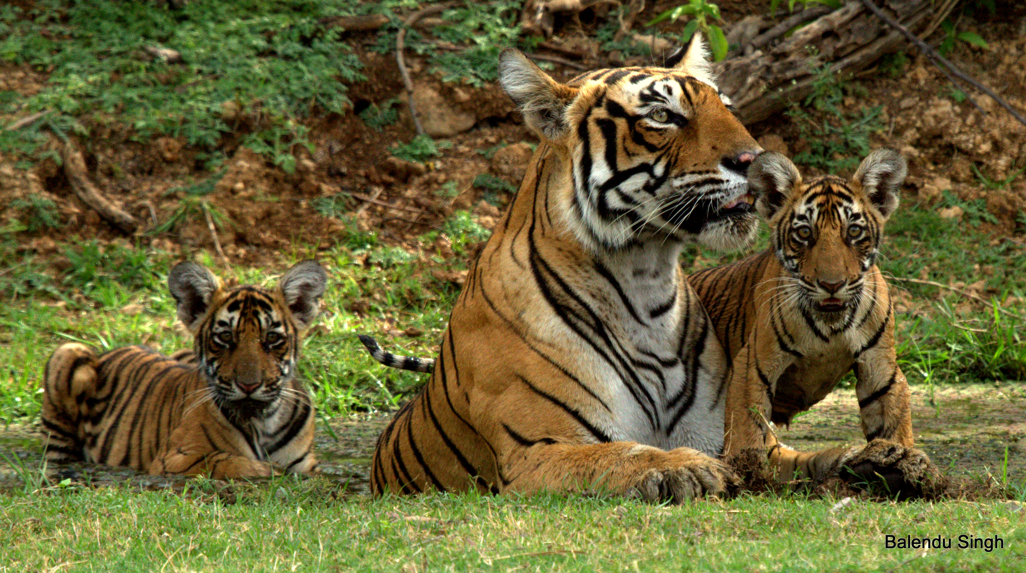 Tiger mother and cubs in Ranthambhore National Park