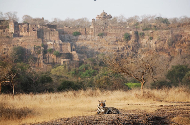 Tiger and ruins in Ranthambhore National Park