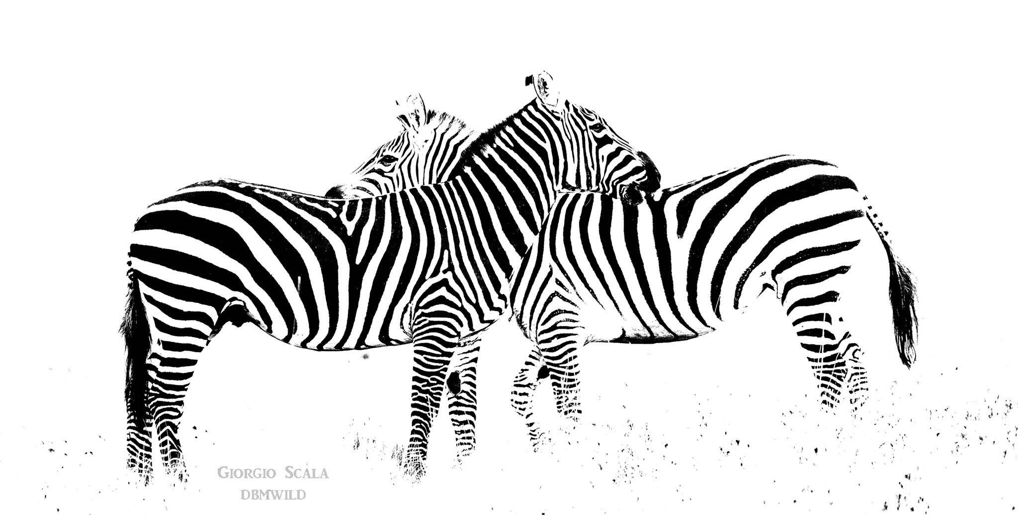 Plains Zebra (Equus burchellii)