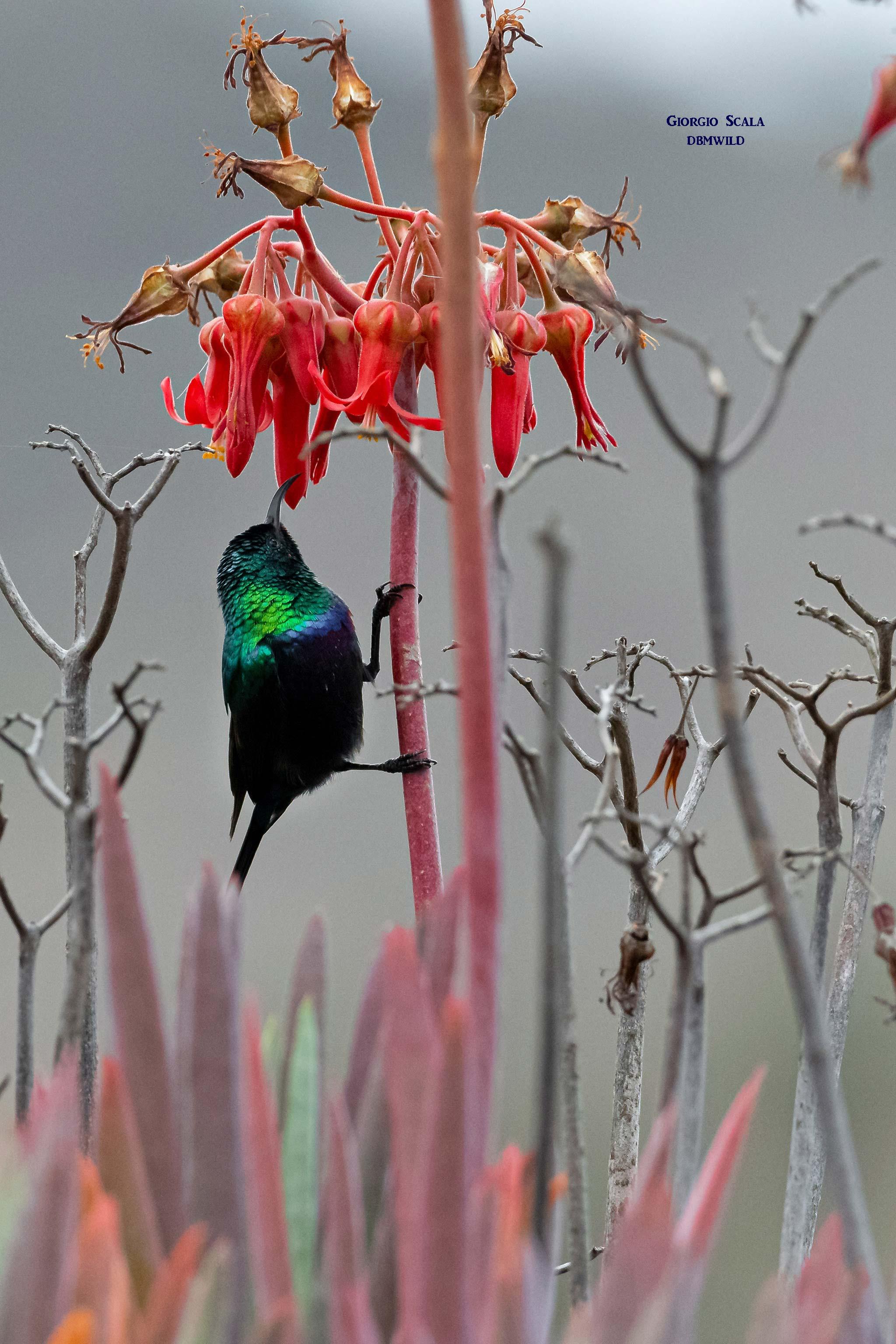 Purple-banded Sunbird (Cinnyris bifasciata)