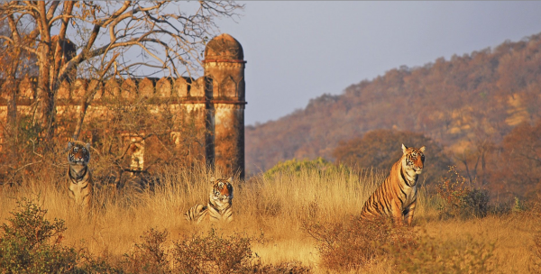 Post WILD11-LT&C Study-Tour to Ranthambhore National Park and Tiger Reserve, India @ Ranthambhore National Park | Rajasthan | India