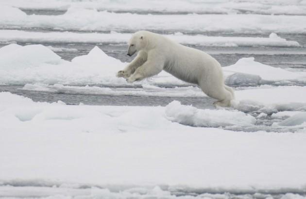 06 Polar bear
